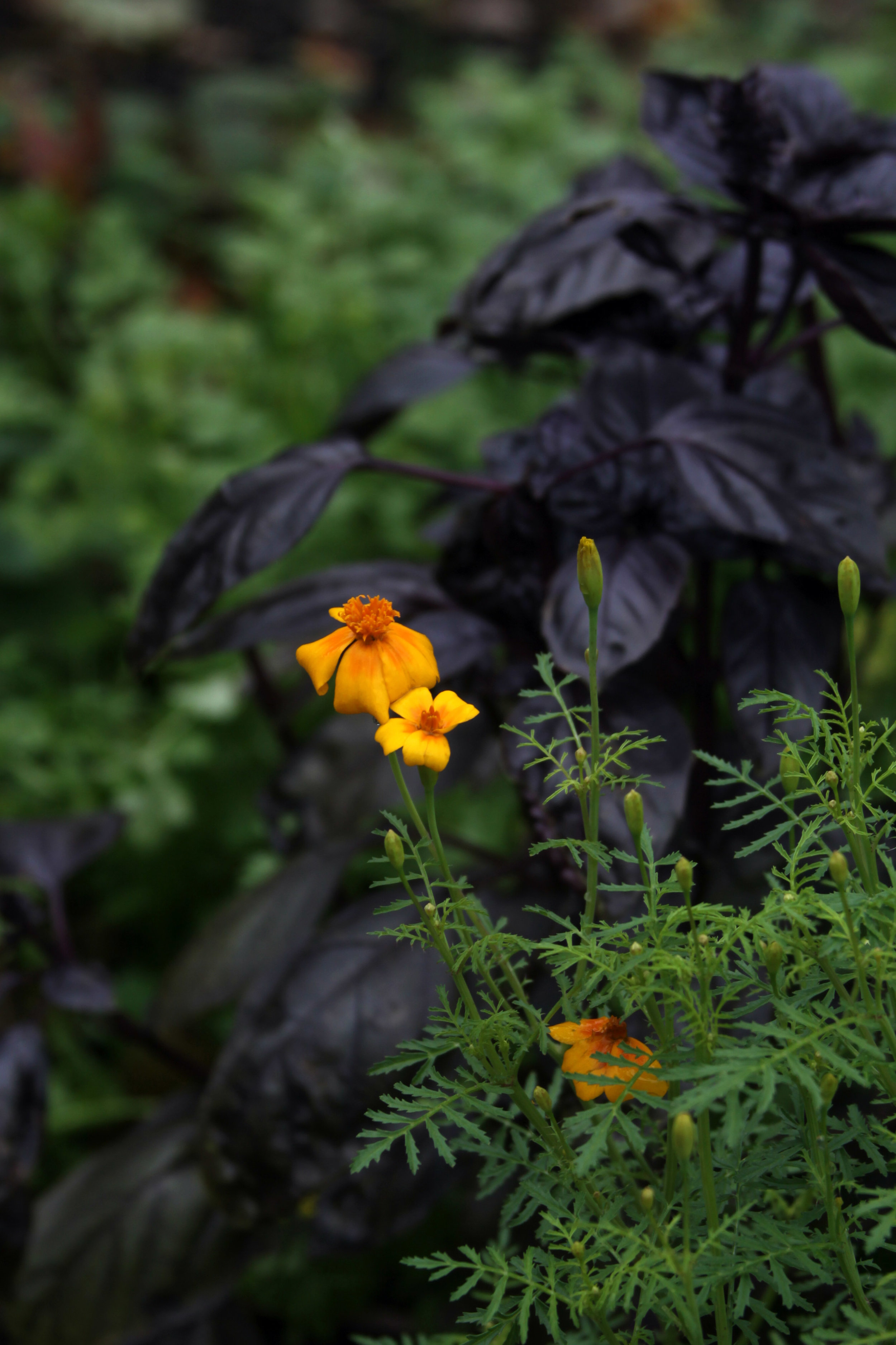 Marigolds and Purple Basil Hanging on in My Autumn Garden