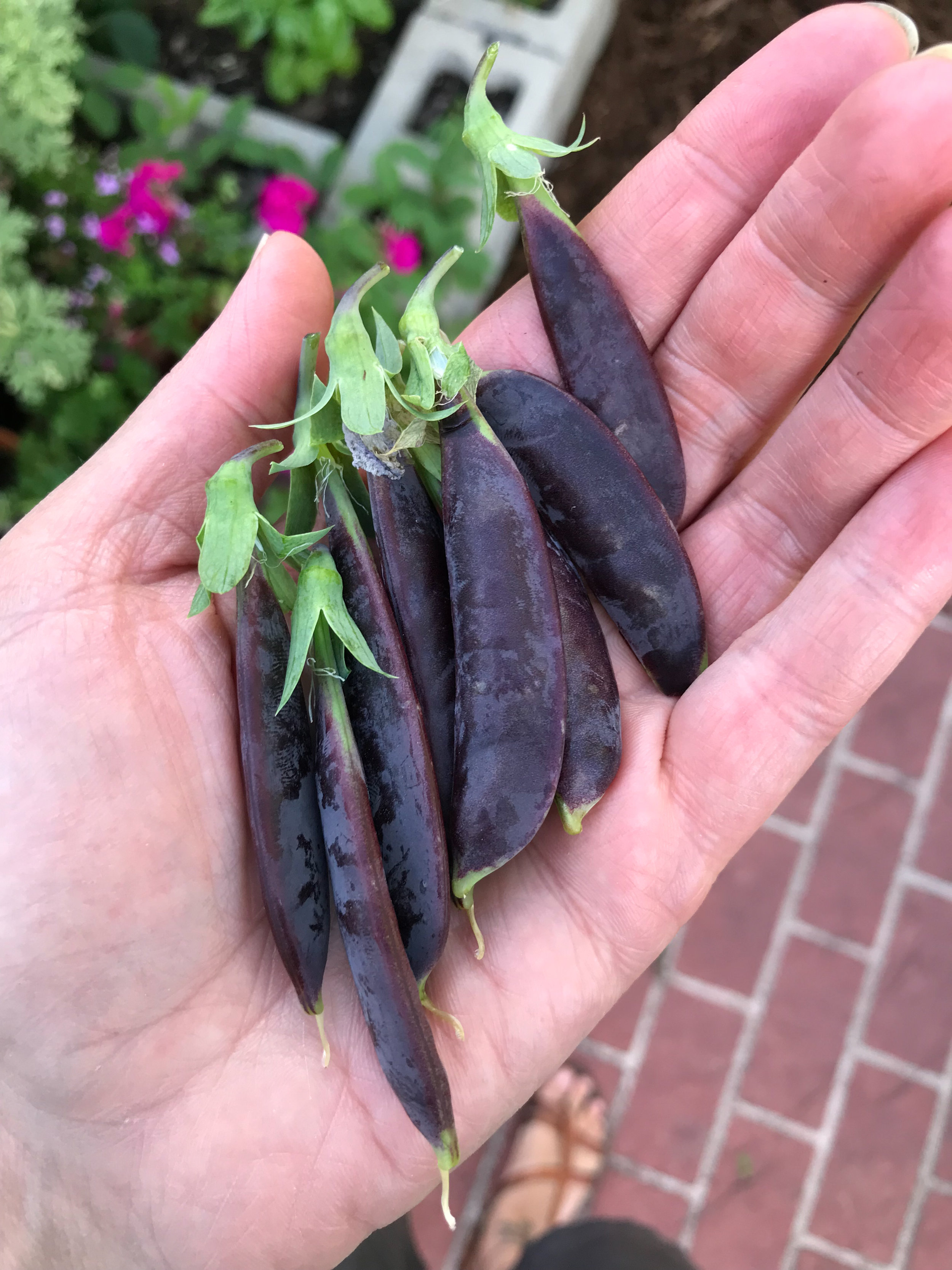 Purple Snap Peas Were Colorful and Fun in My Garden