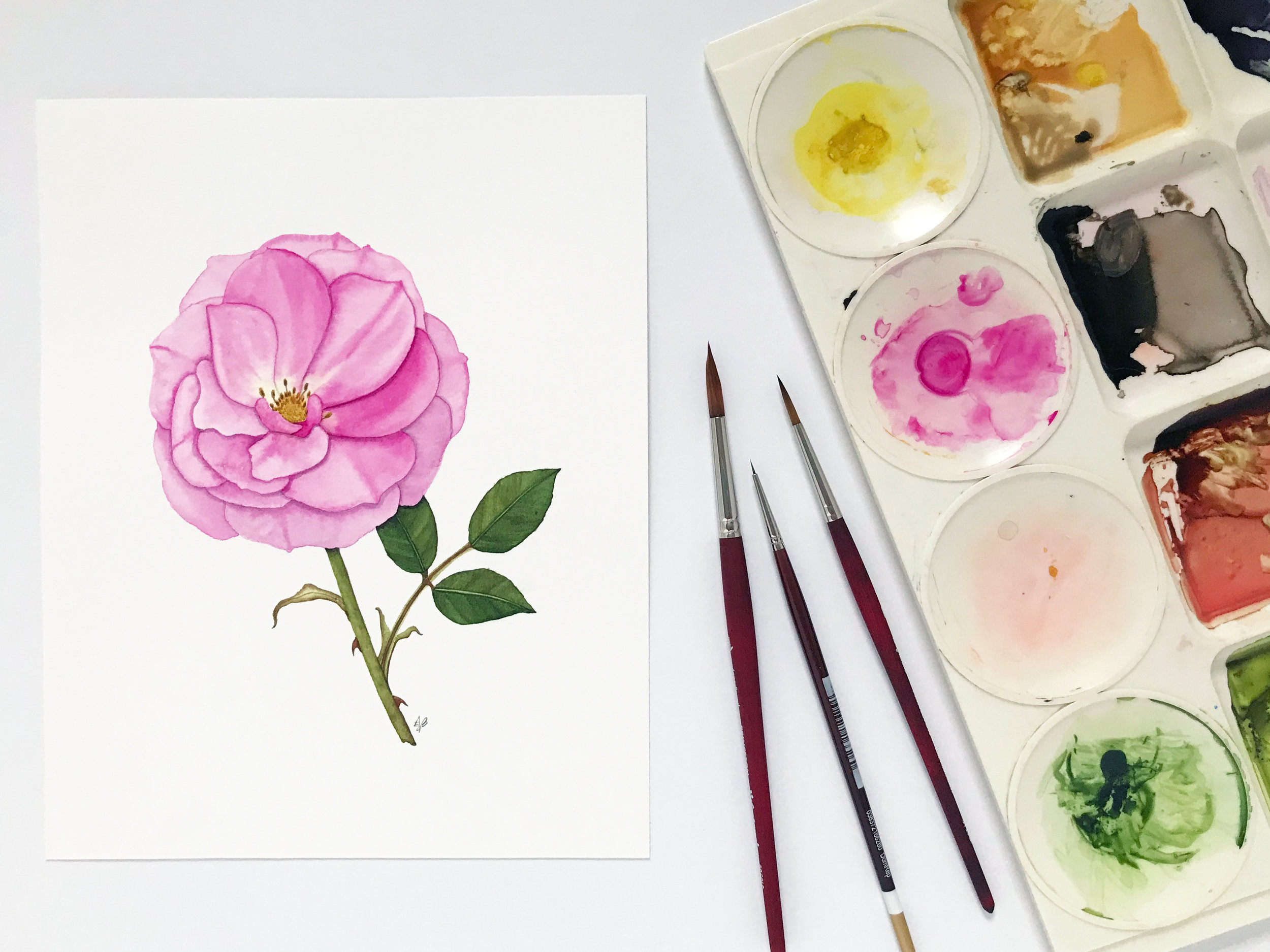 Pink Rose Botanical Watercolor Painting by Anne Butera of My Giant Strawberry