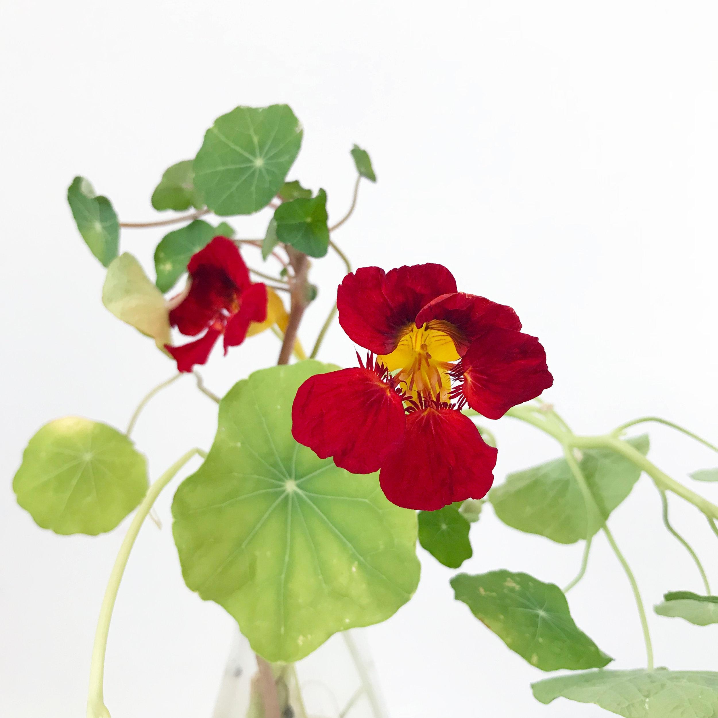 a surprise gift from my garden — nasturtium cuttings blooming in my studio in November