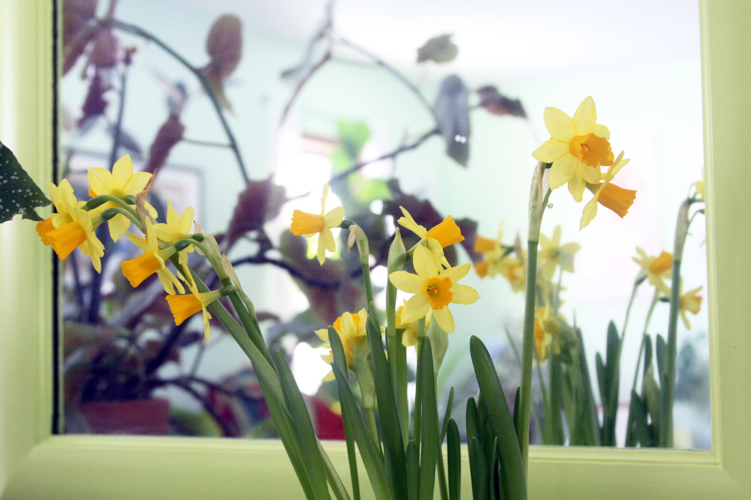 Daffodils Bring Cheer to Winter Dreariness When They're Blooming Inside