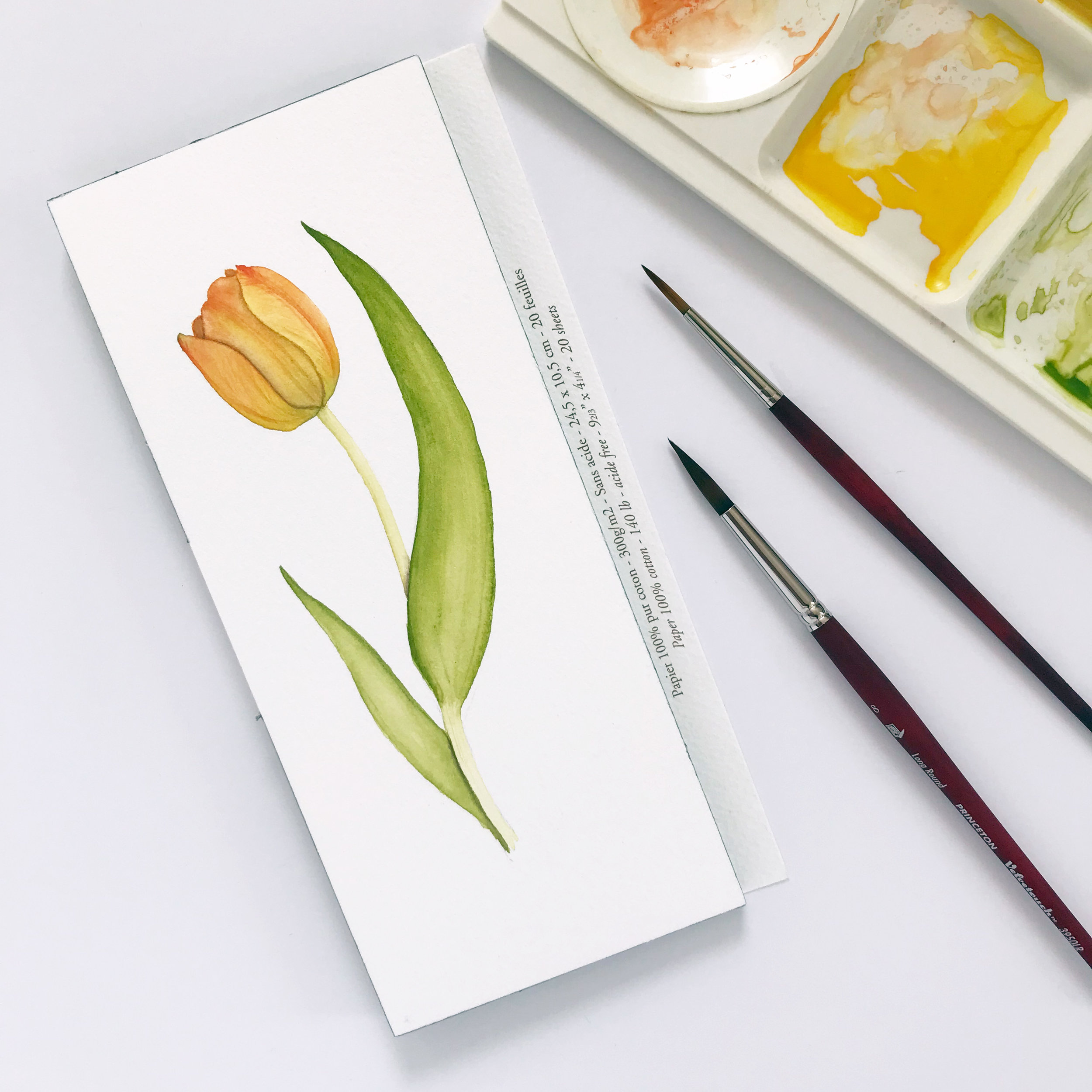a watercolor tulip recently painted by Anne Butera