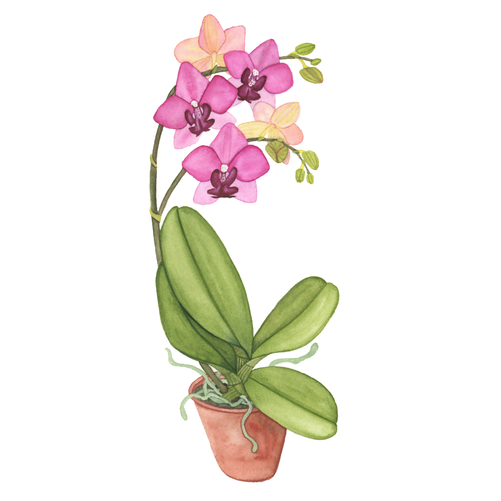 Pink Orchid in a Clay Pot