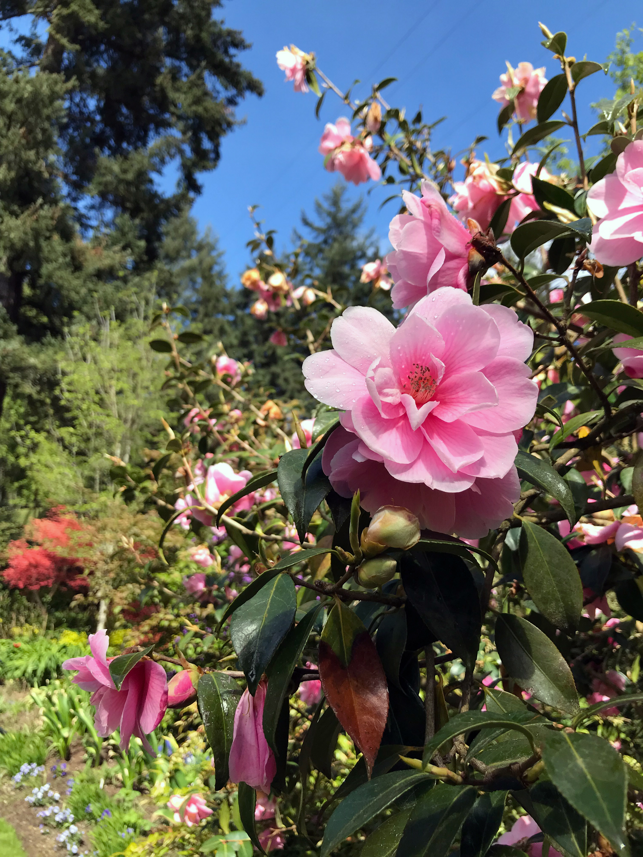Camellias in Bloom at a Garden in Seattle