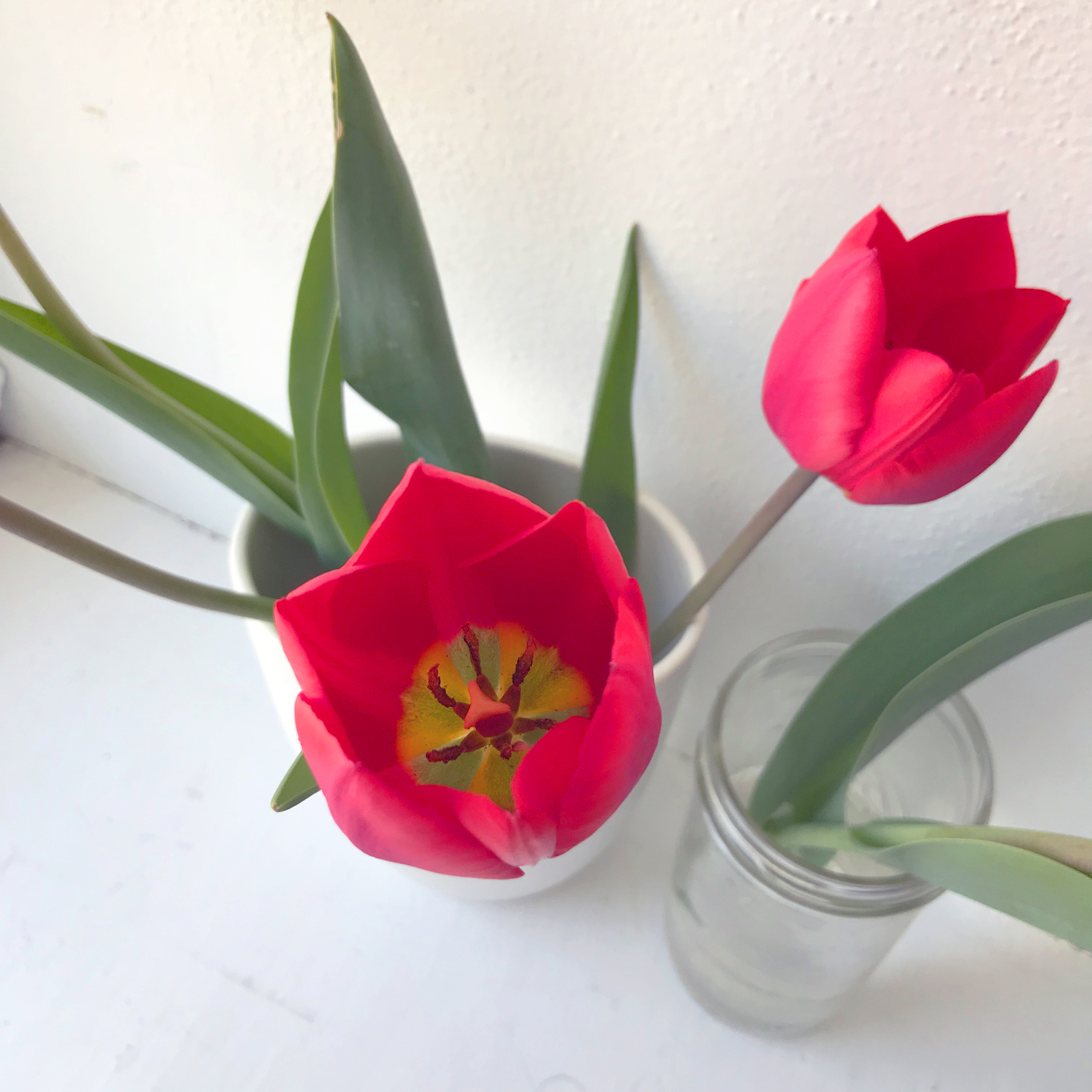 Red Tulips Brought into My Studio to Paint