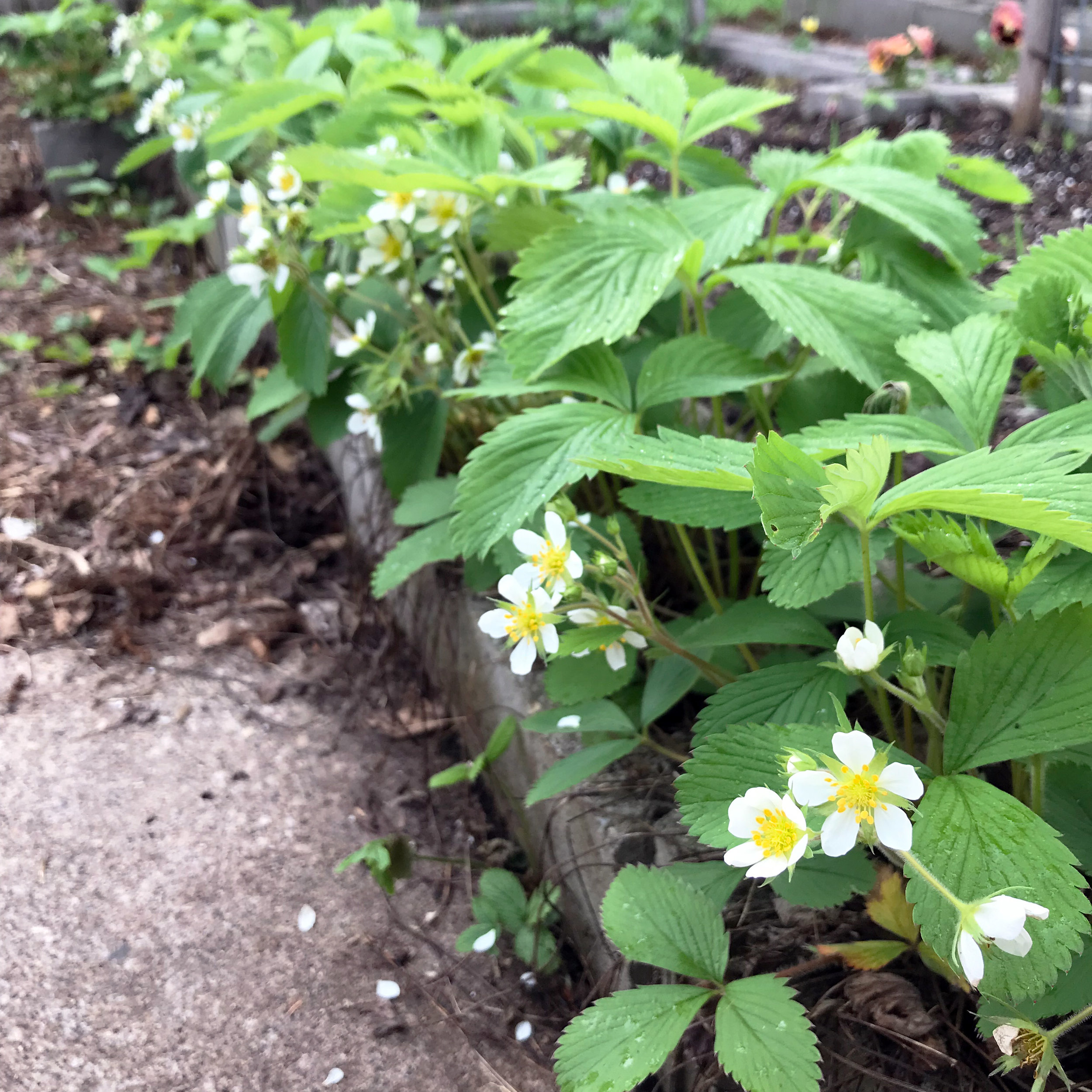 Strawberry Plants Blooming in the Cinder Block Holes of My Raised Beds