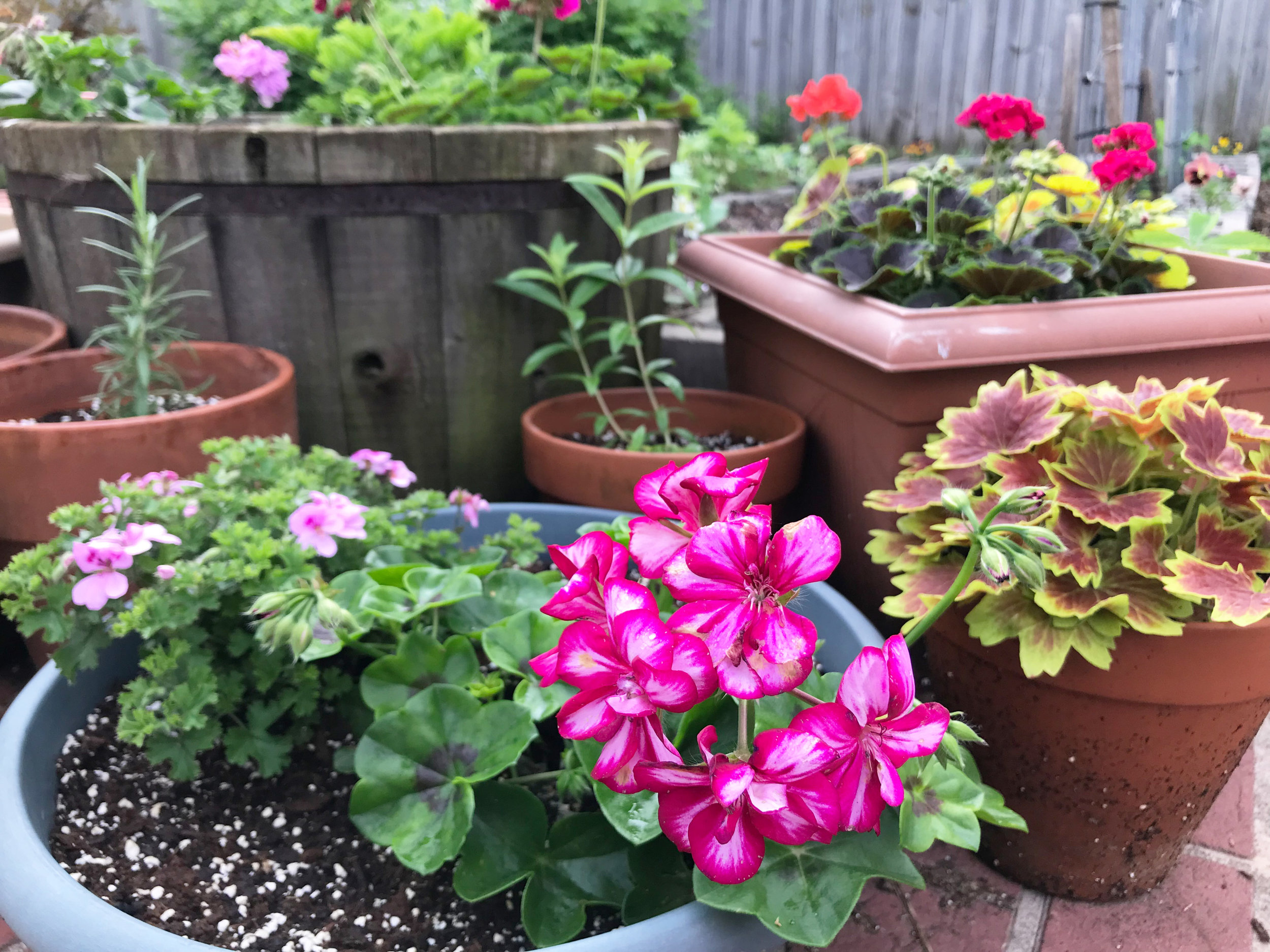 A Corner in My Garden of Colorful and Fragrant Containers with Geraniums and Herbs