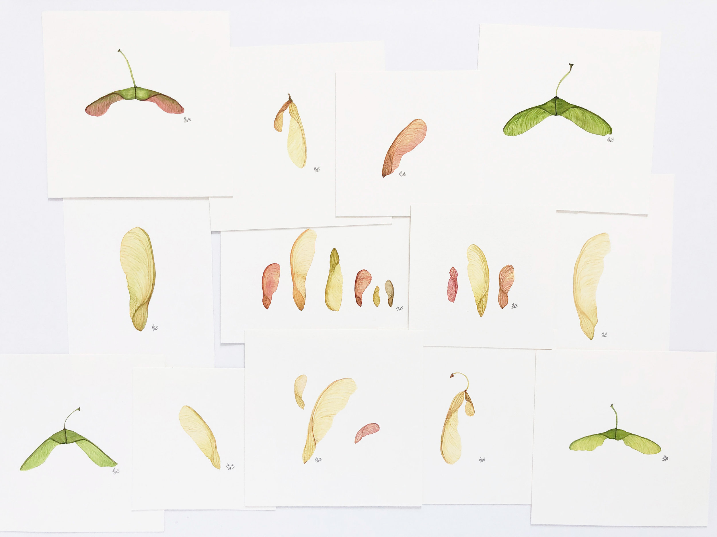 Maple Seed Paintings from the Spring Series of Watercolor Illustrations by Anne Butera
