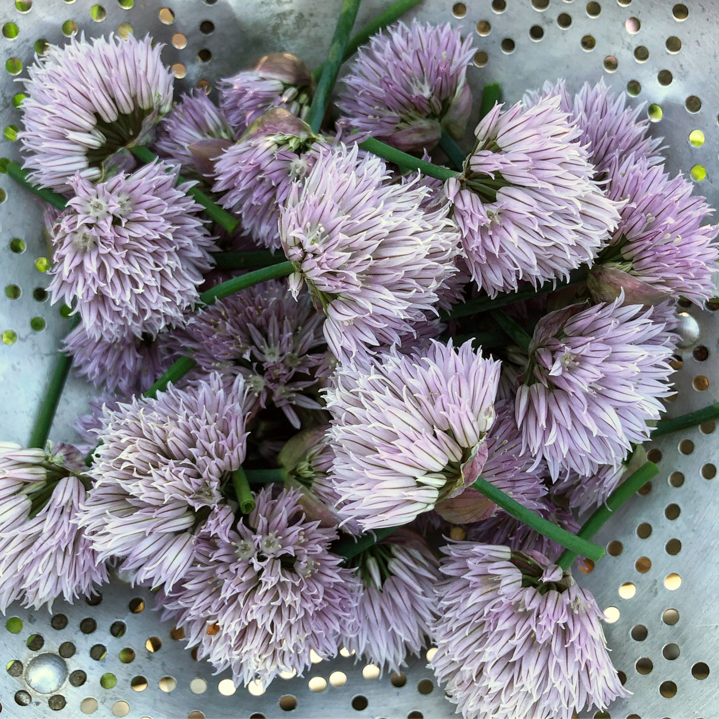 I Harvested Chive Flowers to Infuse in Vinegar