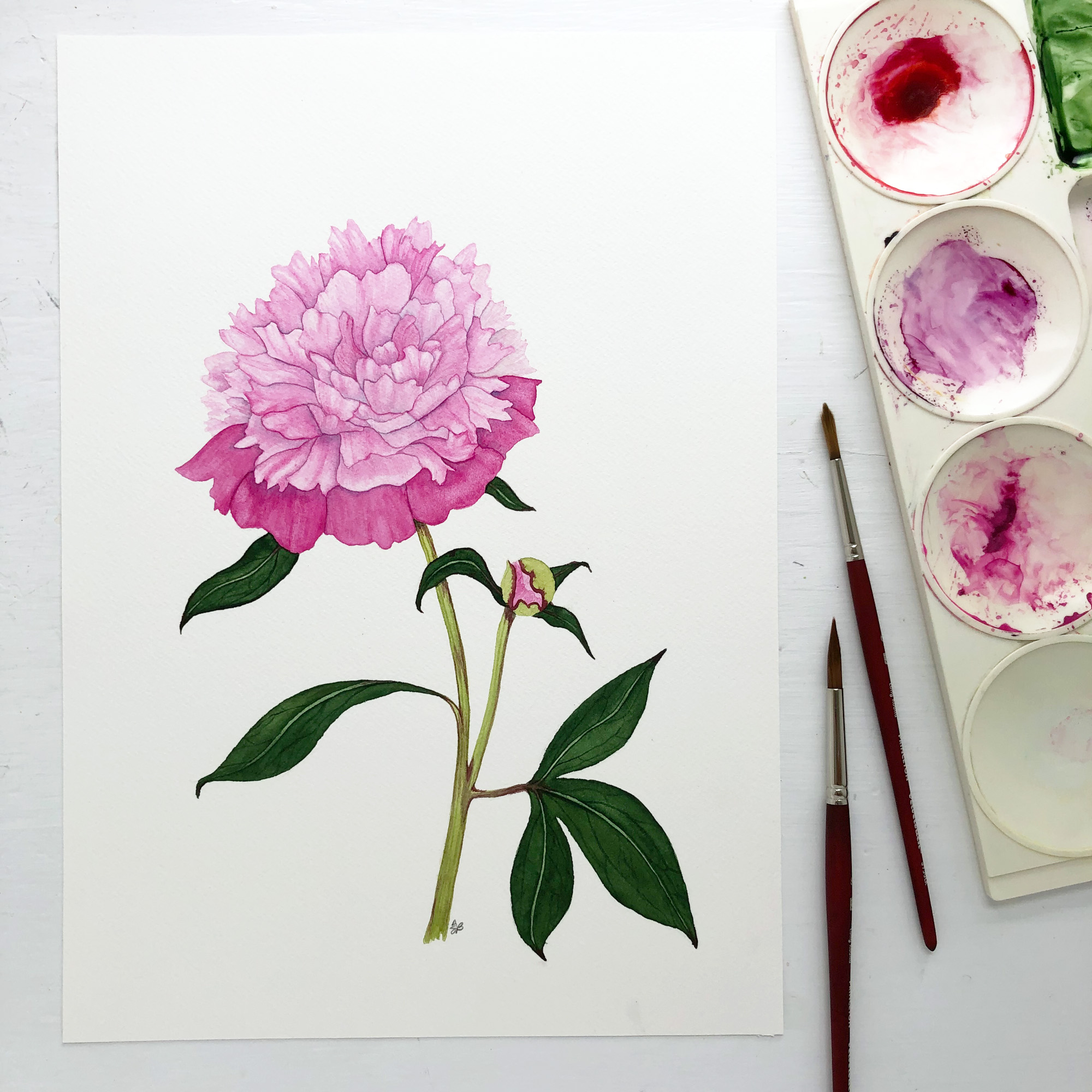Pink Peony Watercolor Painting by Anne Butera