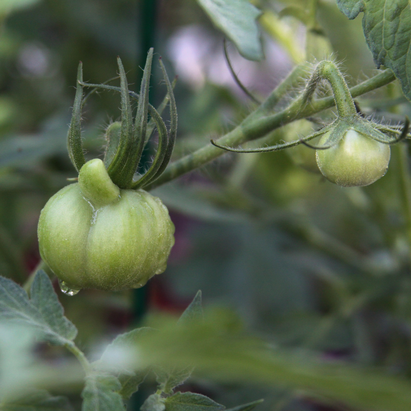 A funny tomato growing in my garden