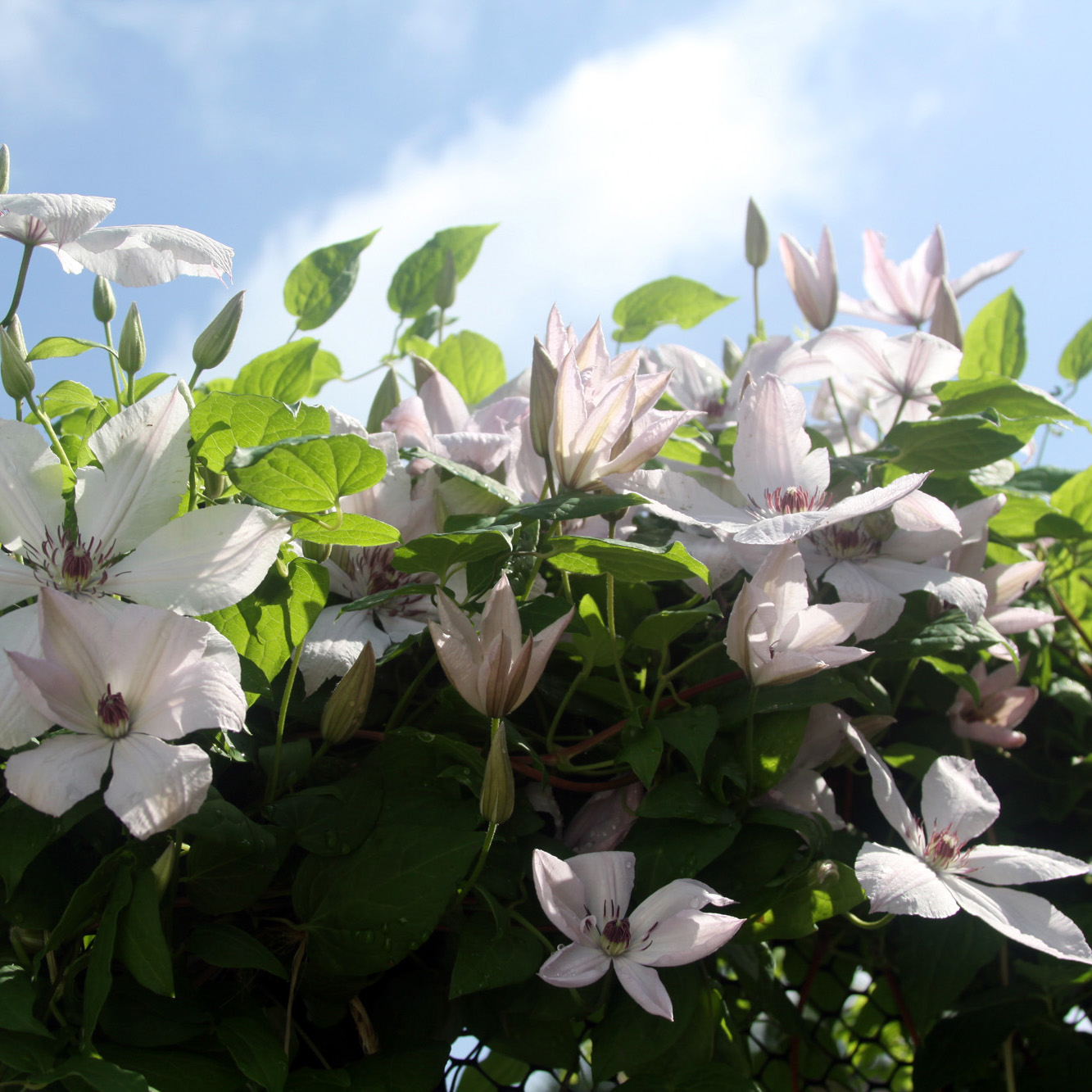 Clematis flowers blooming in my garden