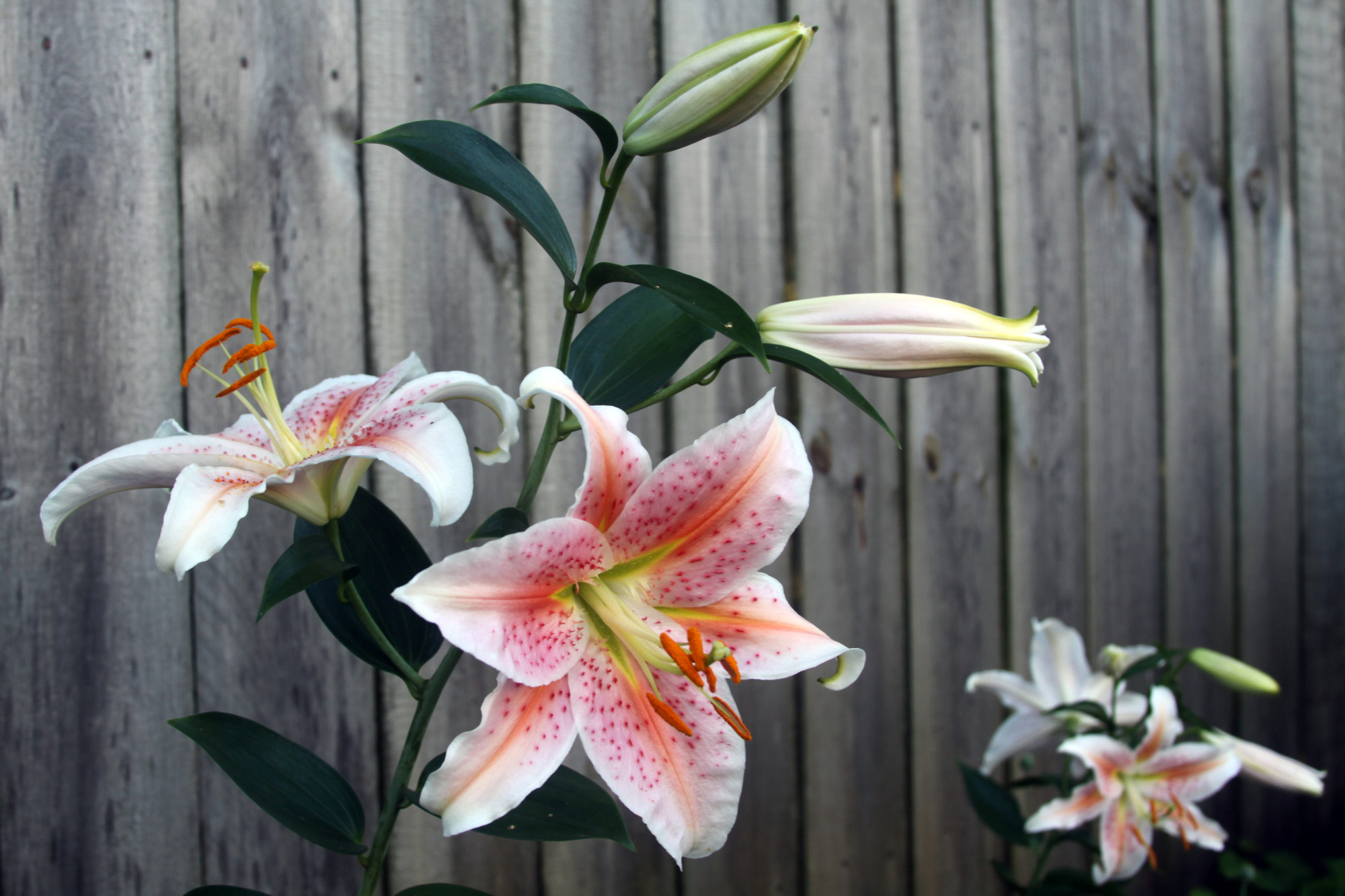 The Lilies are Blooming in My Garden