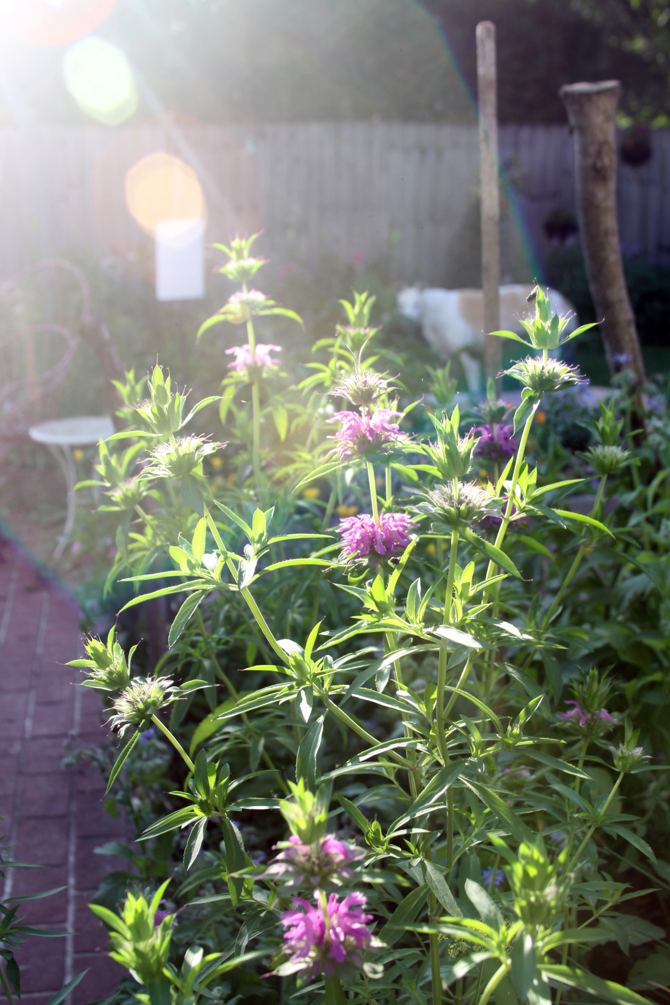 Lemon Mint Blooming in My Morning Garden With Charlie the Rescued Greyhound Watching