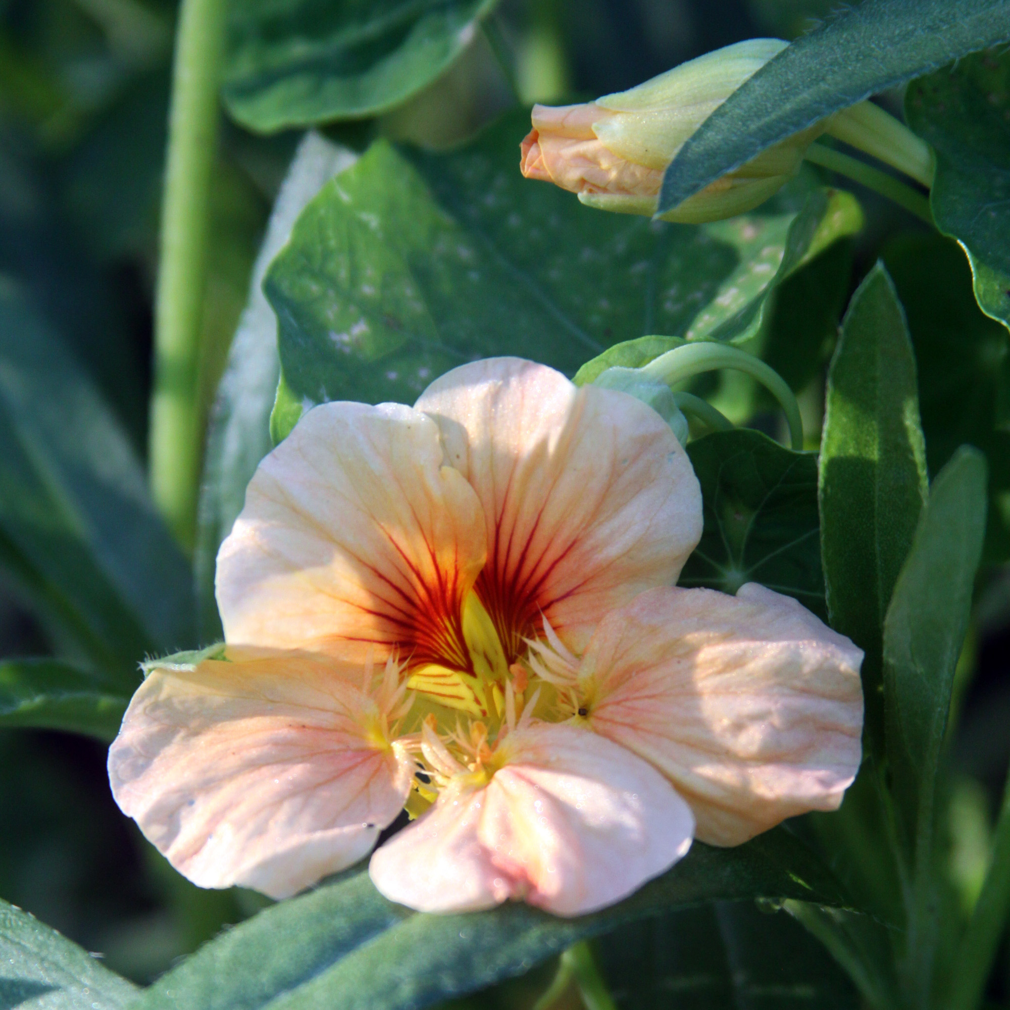 A Peach Nasturtium Peeking Out from Other Plants