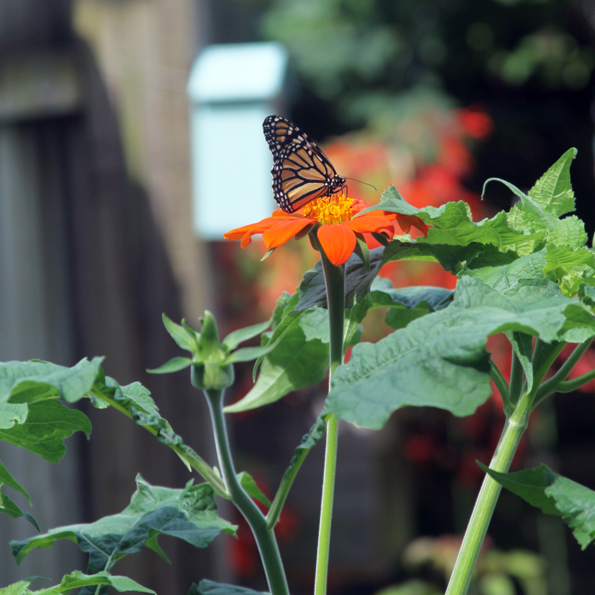 The Monarchs Love the Mexican Sunflowers Blooming in My Garden