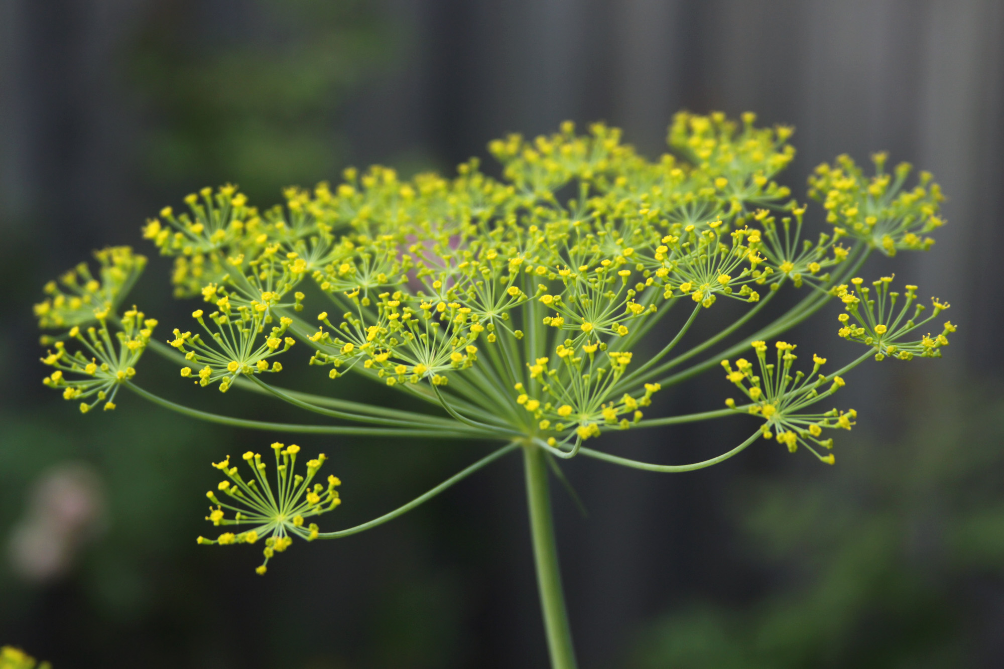 A Dill Flower is Beautiful if You Look Closely