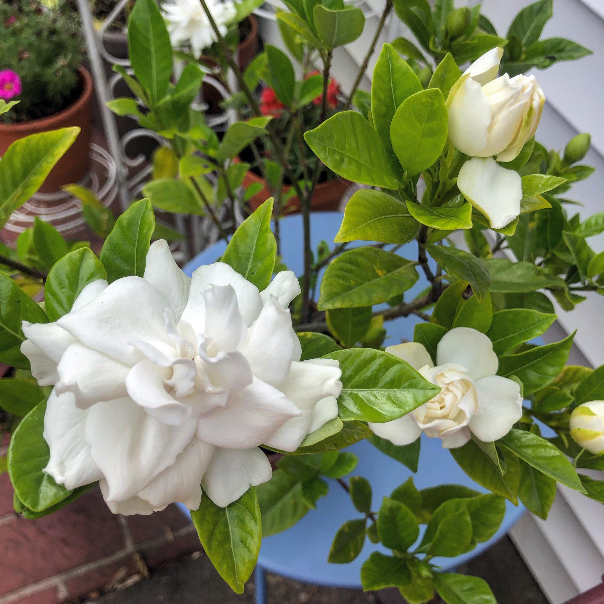 First time I've kept a gardenia alive for so long and had it flower a second season