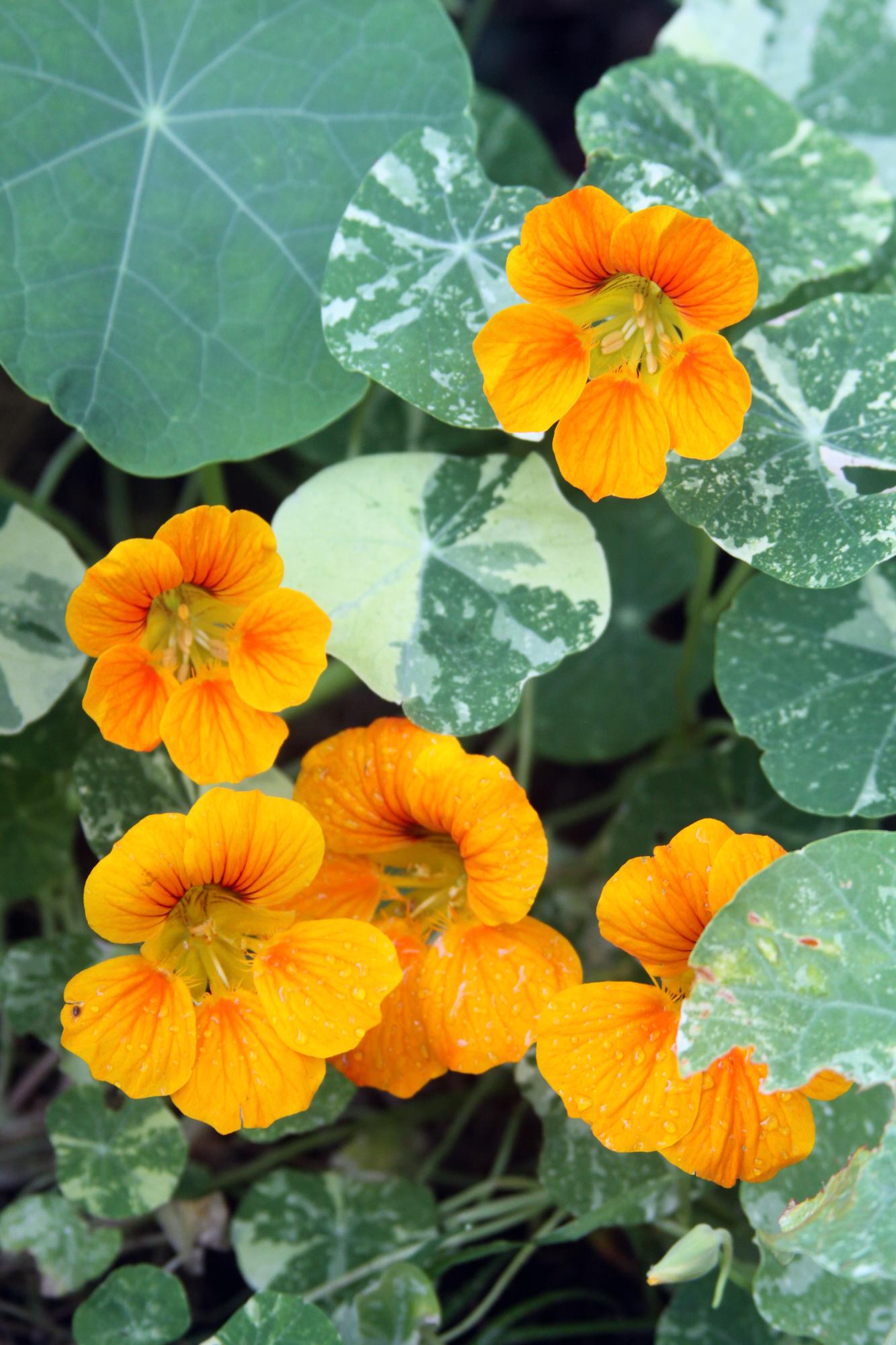 Nasturtiums Blooming in My Garden