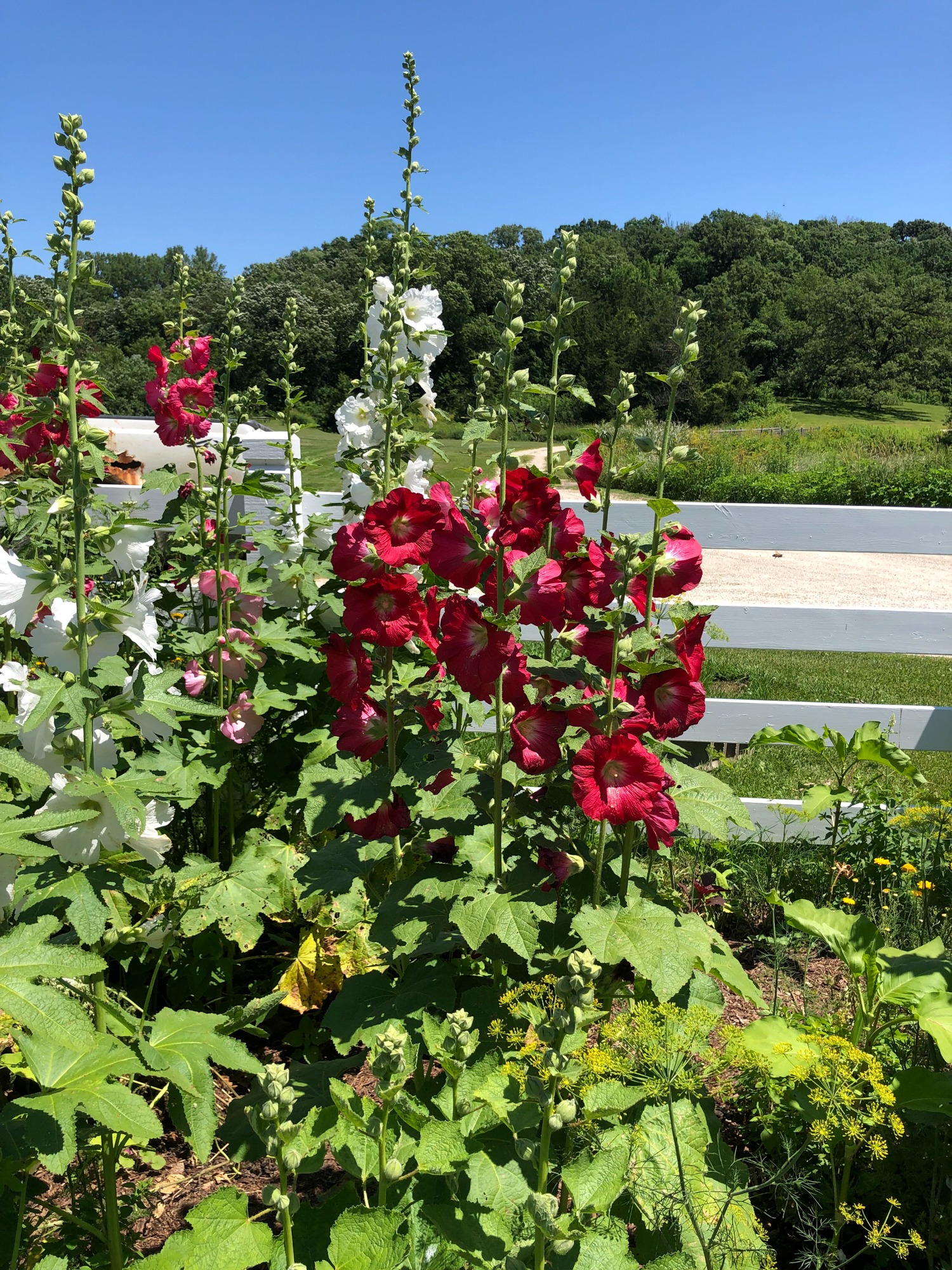 Hollyhocks and Dill at Seed Savers Exchange Heritage Farm in Decorah Iowa