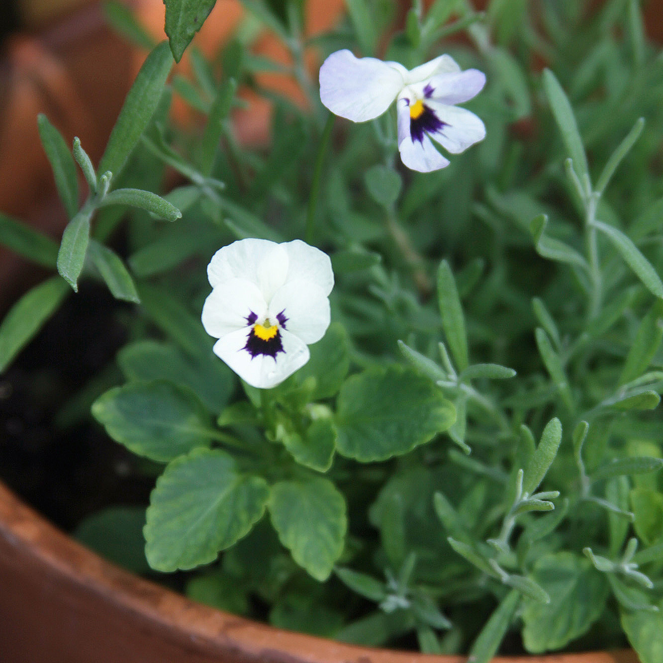 A Surprise White Viola Popped Up in My Pot of Lavender