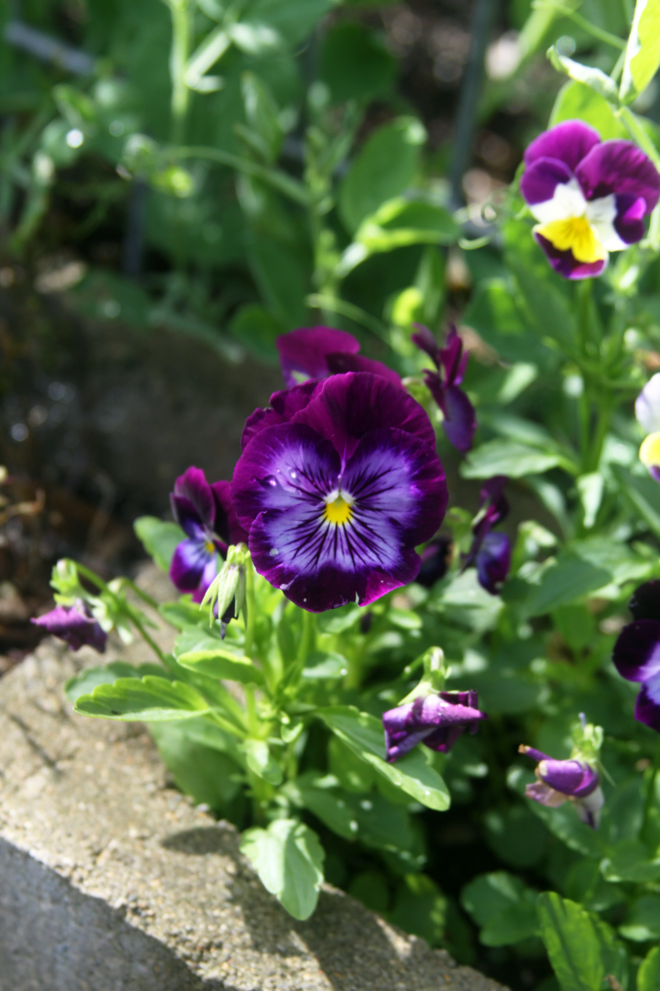 Self-Seeded Violas Growing in the Holes of My Cinder Block Raised Beds