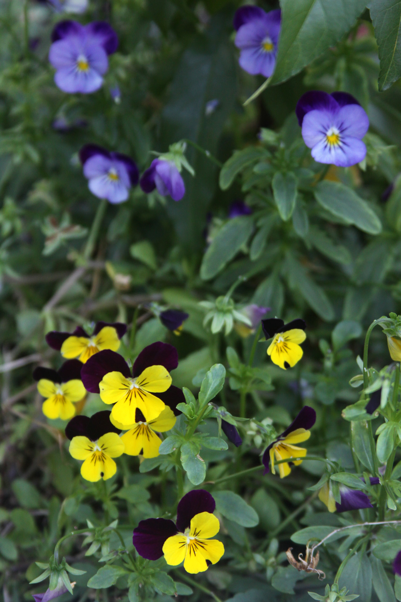 Viola Flowers Come in So Many Color Combinations and When They Self Seed You Get Some Surprises