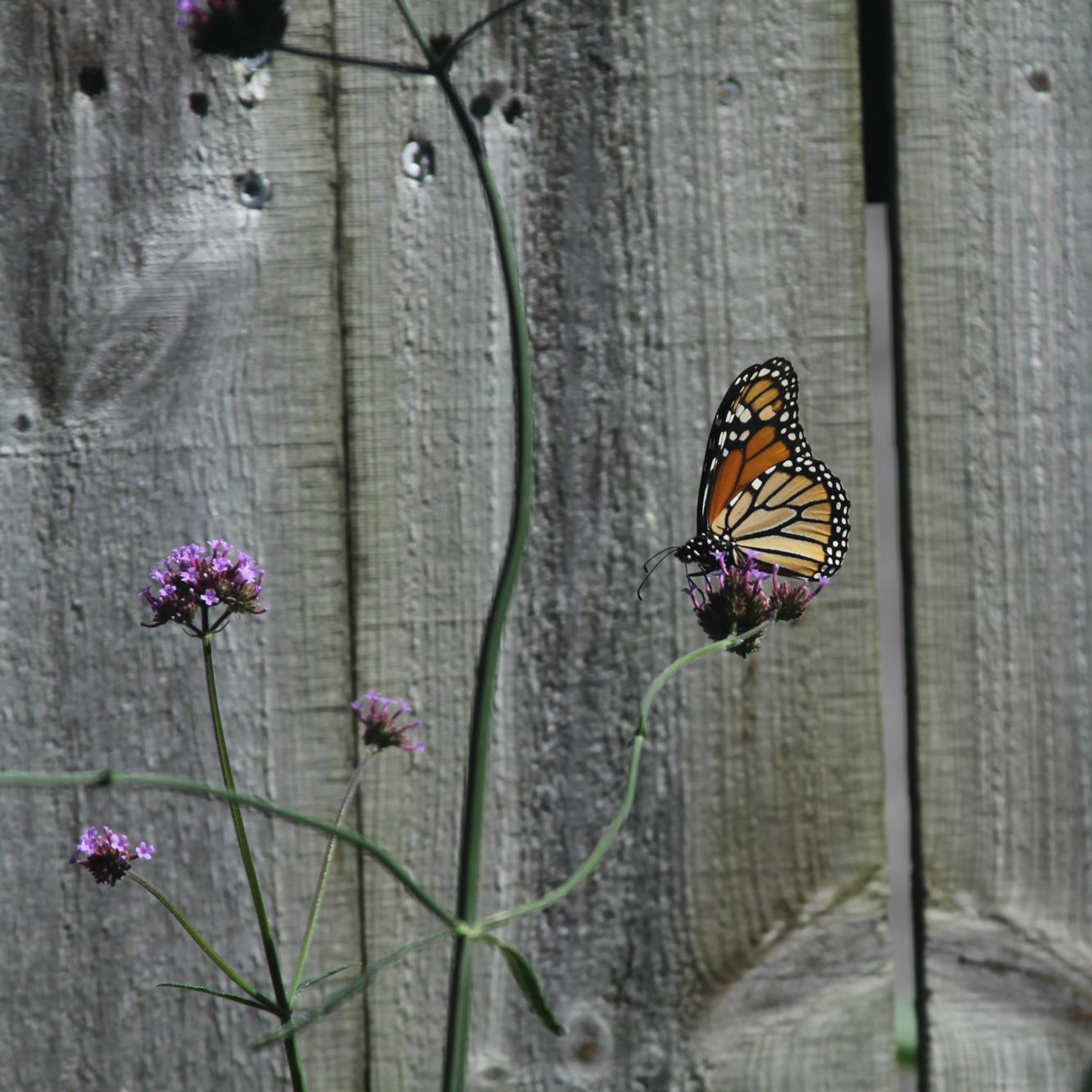 The monarchs love the self-seeded verbena in my garden