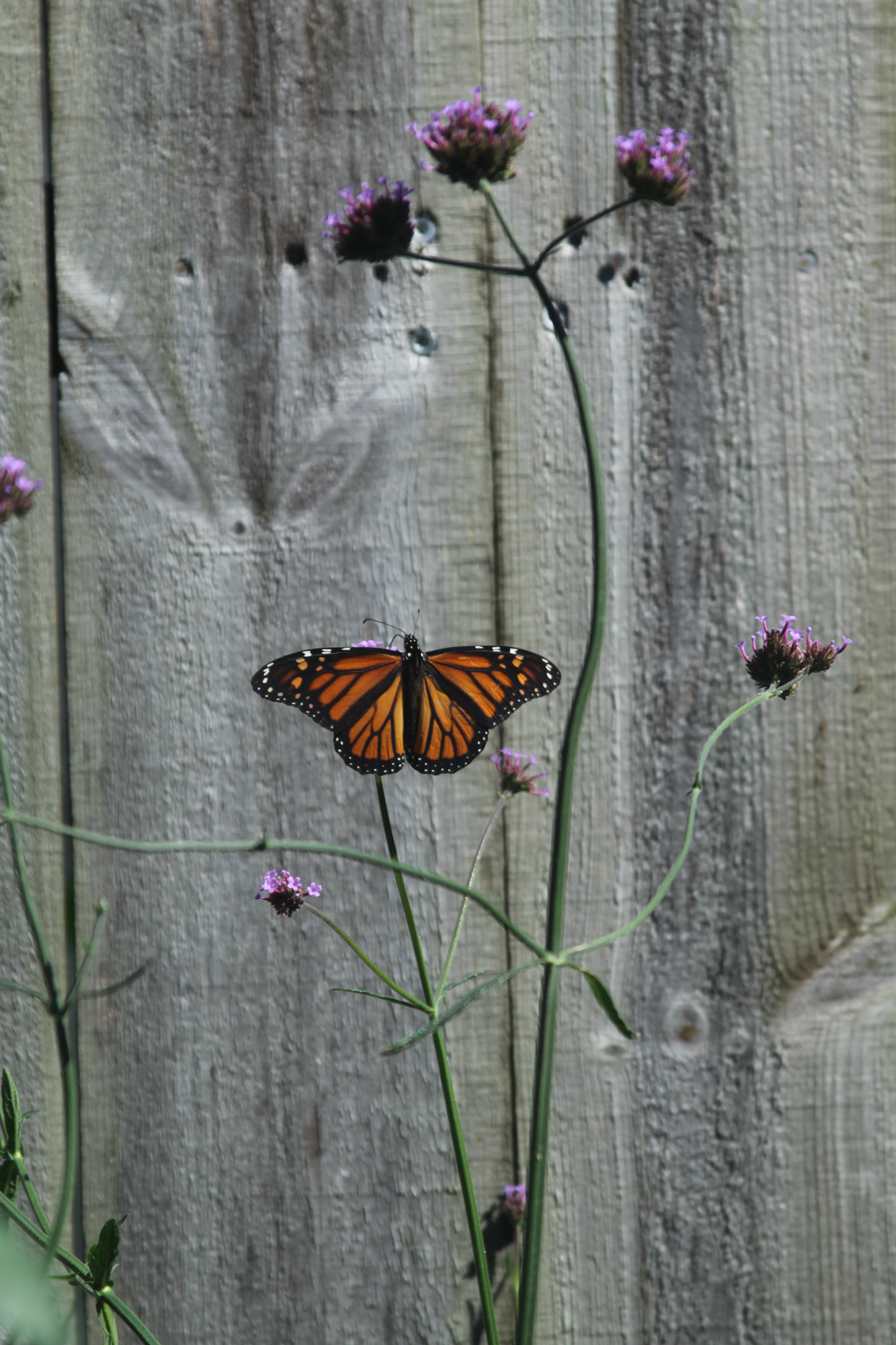 I will miss the butterflies when they leave for the season