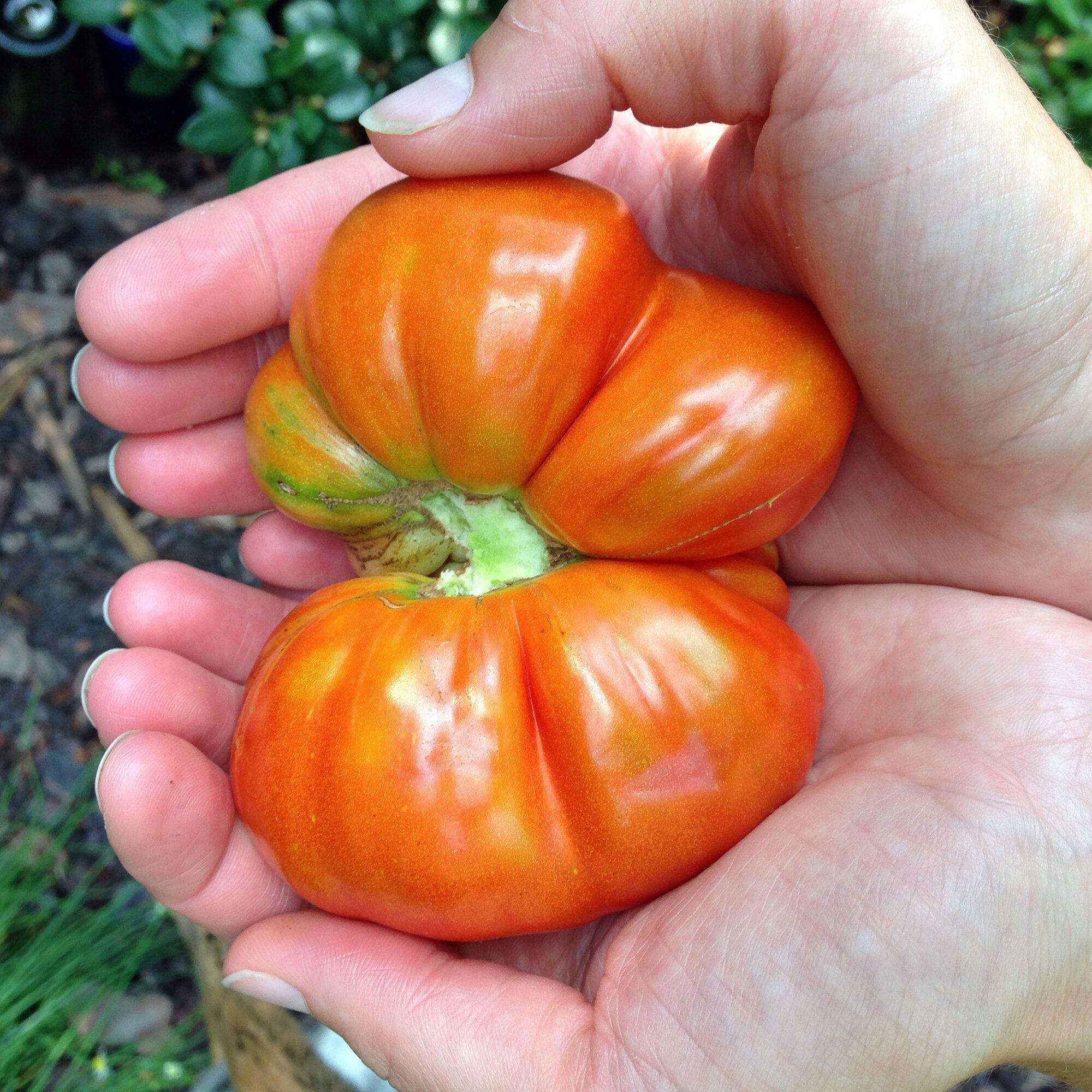 A beautiful heirloom tomato
