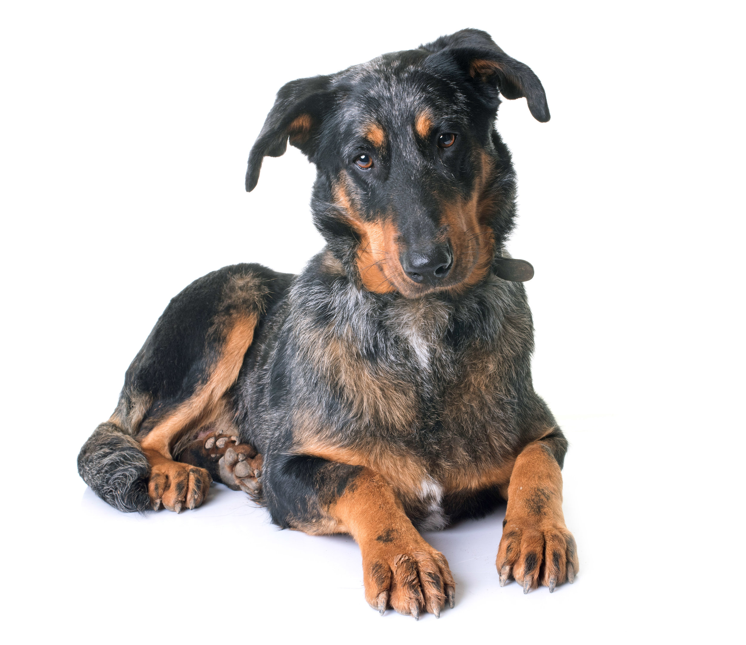 beauceron-dog-in-studio-PK94EY2.jpg