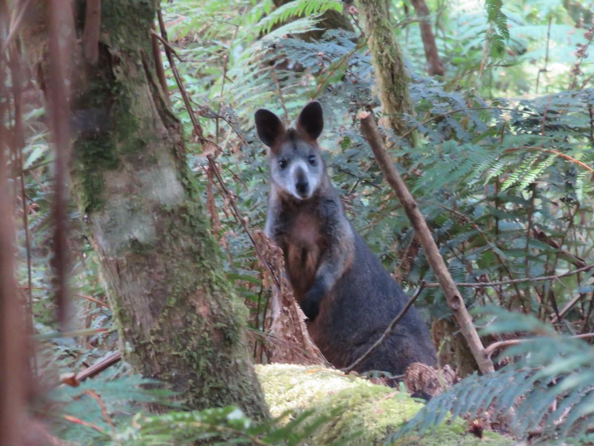 Wallaby or Kanga?