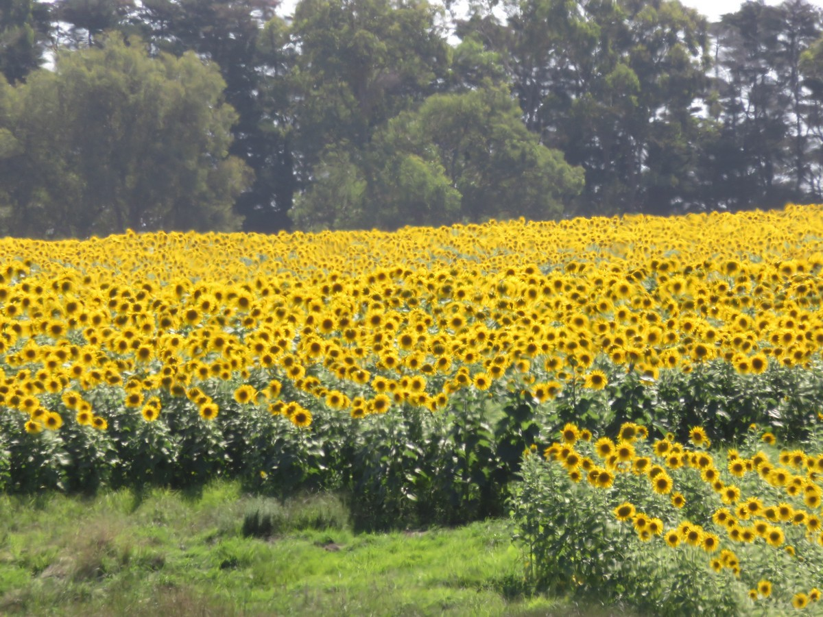 The biggest field of sunflowers I've ever seen! This is just a small piece...