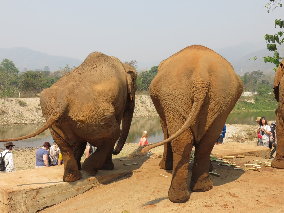 The lefthand elephant was raped and her hips broken; they remain badly disfigured but she can now walk