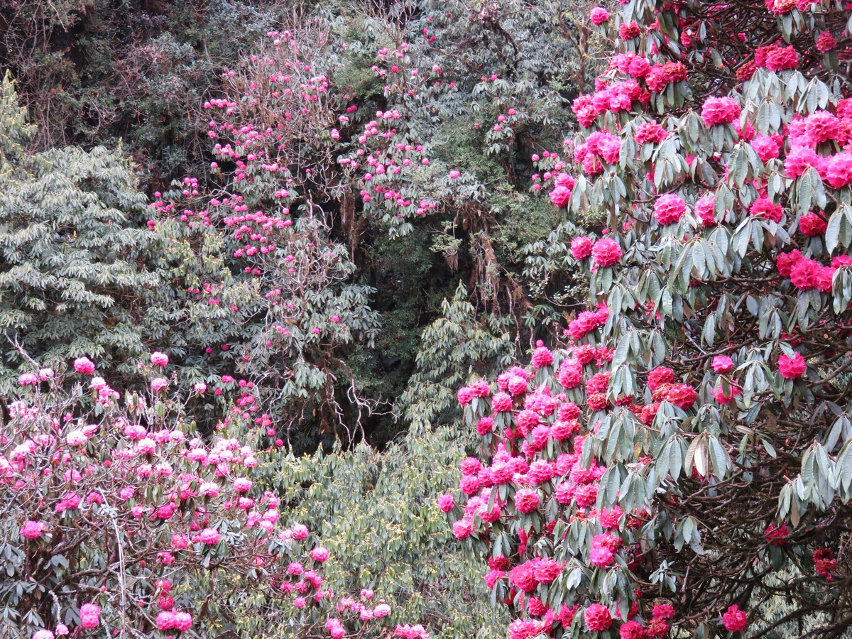 Rhododendron forests in full bloom lined most of the 10 day route.