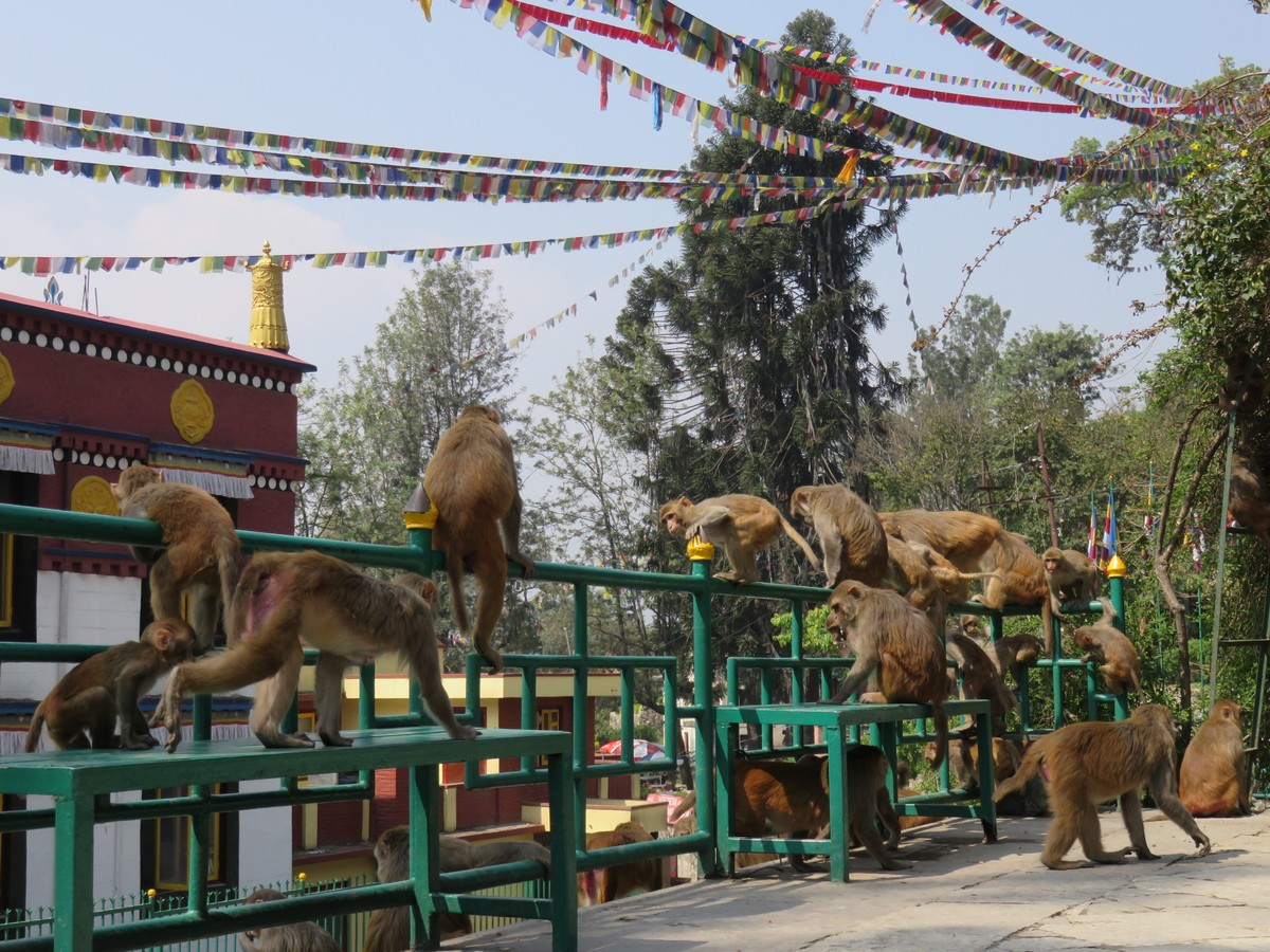 Lots of monkeys at the monkey temple