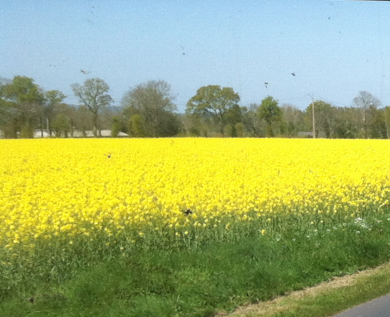 YellowFlowers of France Cropped.jpg
