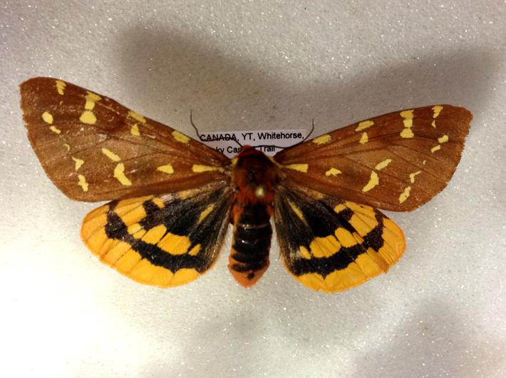 tiger-moth-specimen.jpg