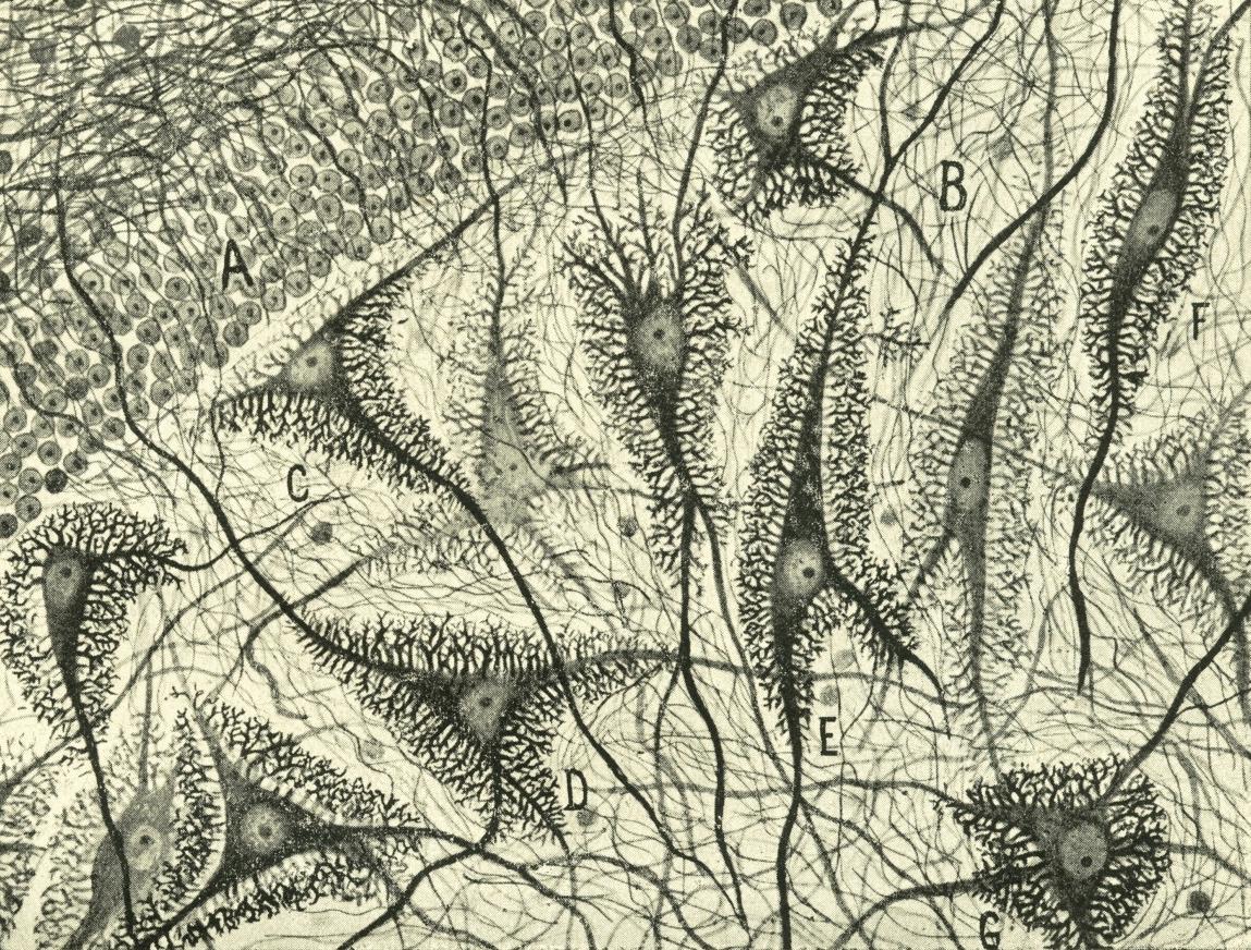 Del Rio-Hortega, 1918 Cells in the Ox (detail)