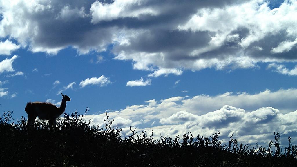 El cérvol andí meridional (Hippocamelus bisulcus) és una espècie de cérvol nadiu de les muntanyes de l'Argentina i Xile.