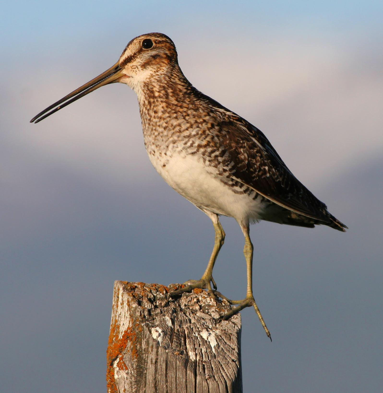 Common_snipe_fencepost.jpg