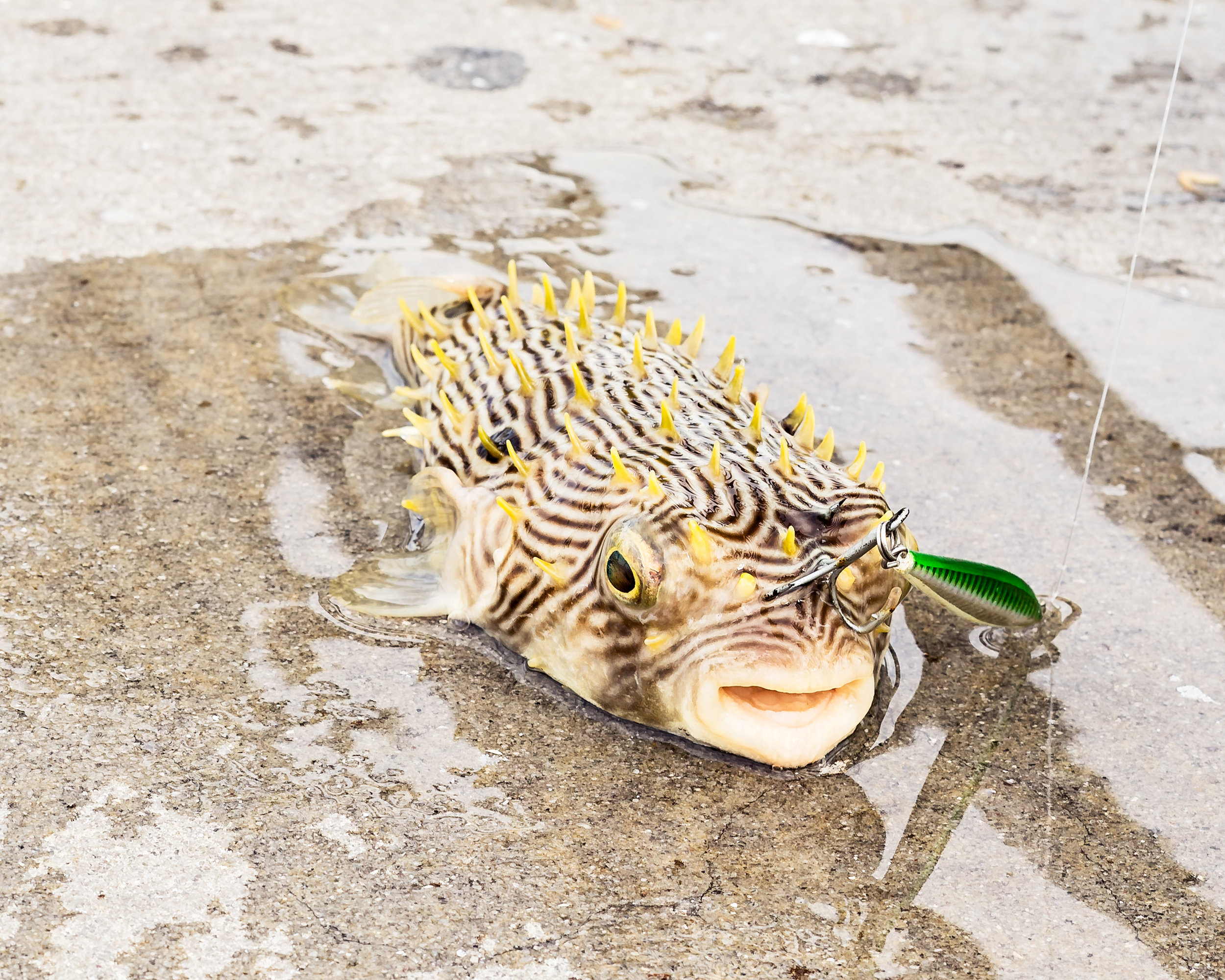 An unexpected catch. This spiny box puffer, or striped burrfish, wound up running in to a fisherman's hook and getting reeled in. The sharp barbs and it's beak can prove to be a challenge when removing the hook. These fish are poor swimmers and not good to eat.