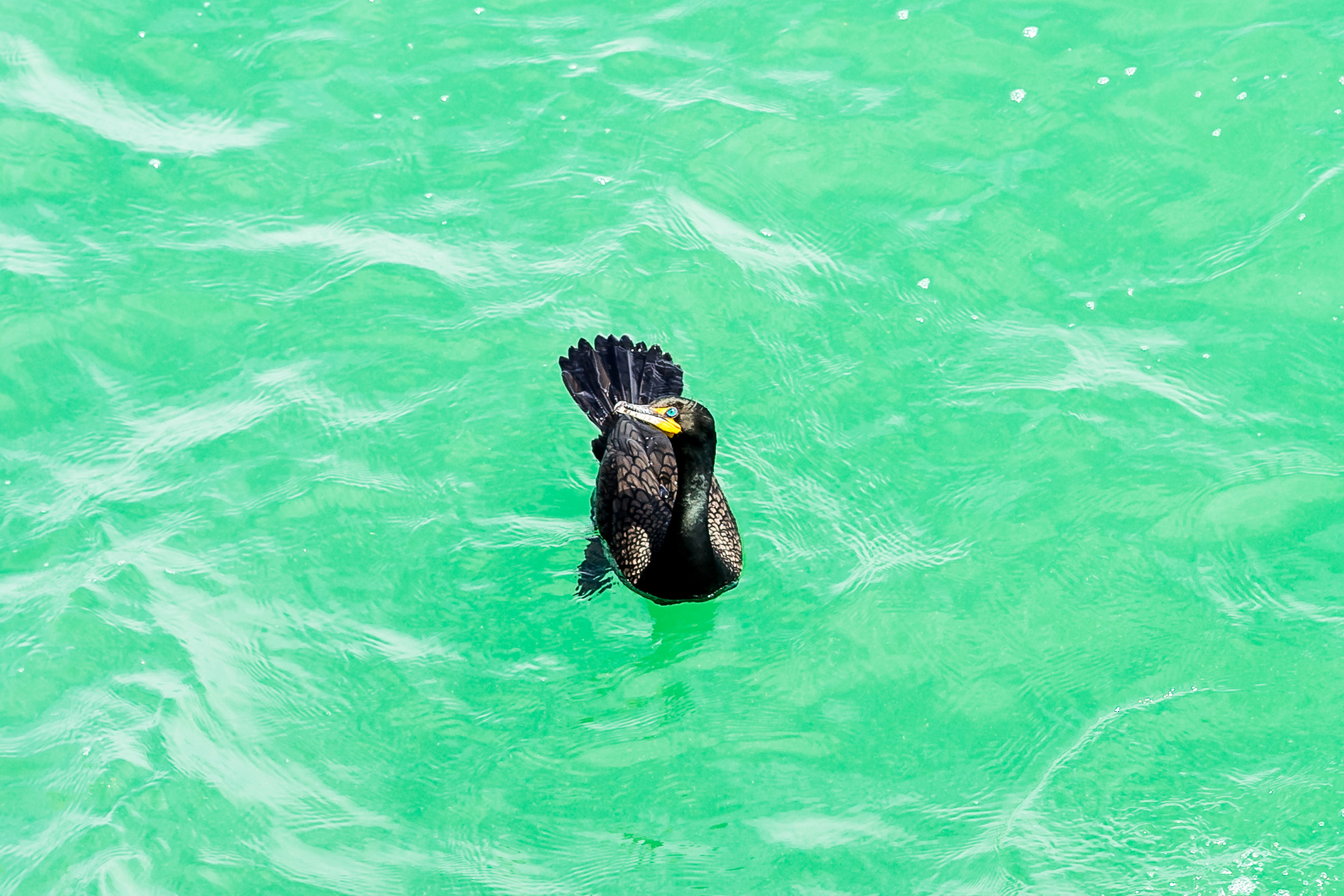 This double-crested cormorant hung around the pier waiting for someone to throw a fish back in the water.