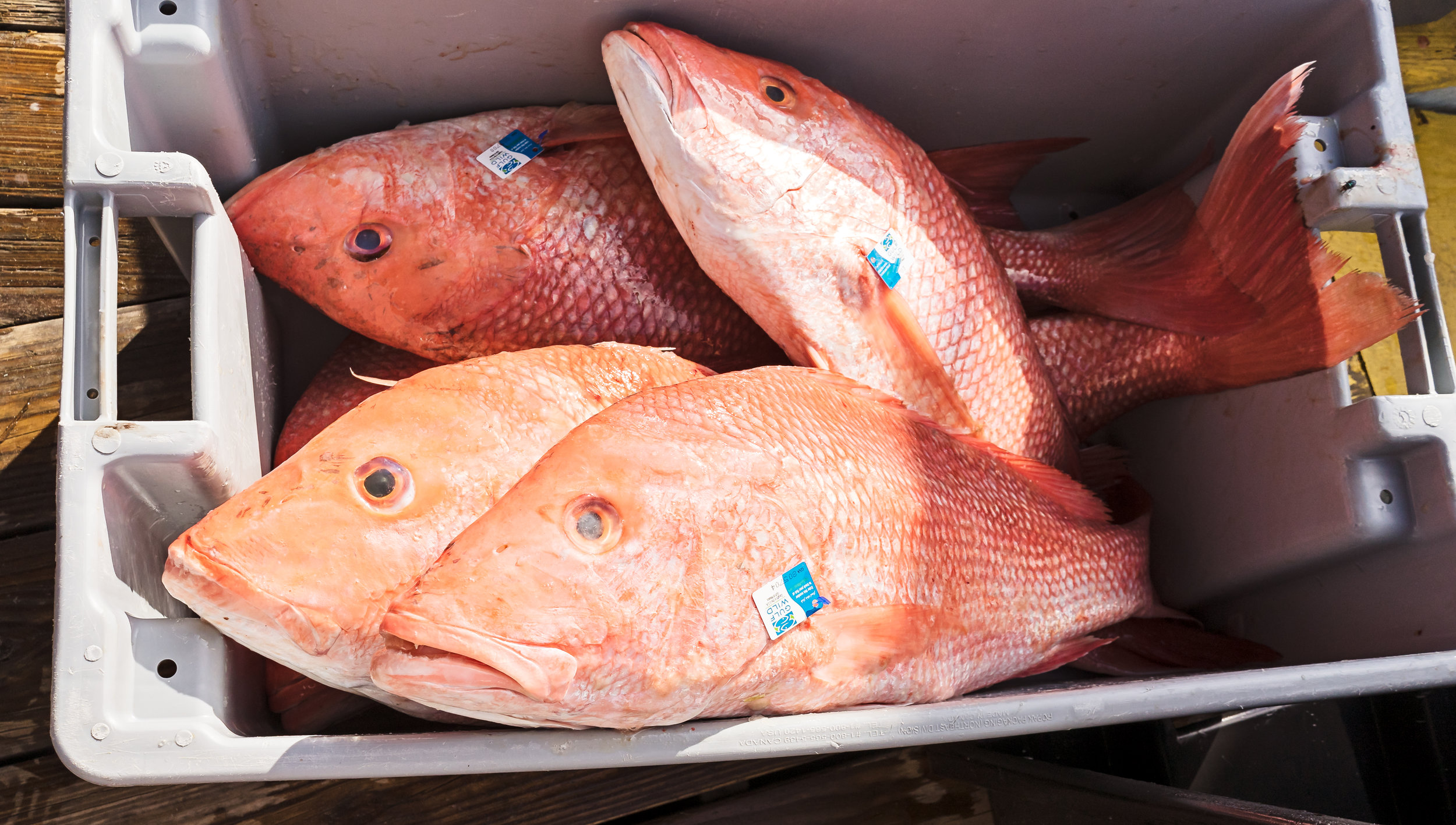 Red Snapper tagged and waiting to be weighed.