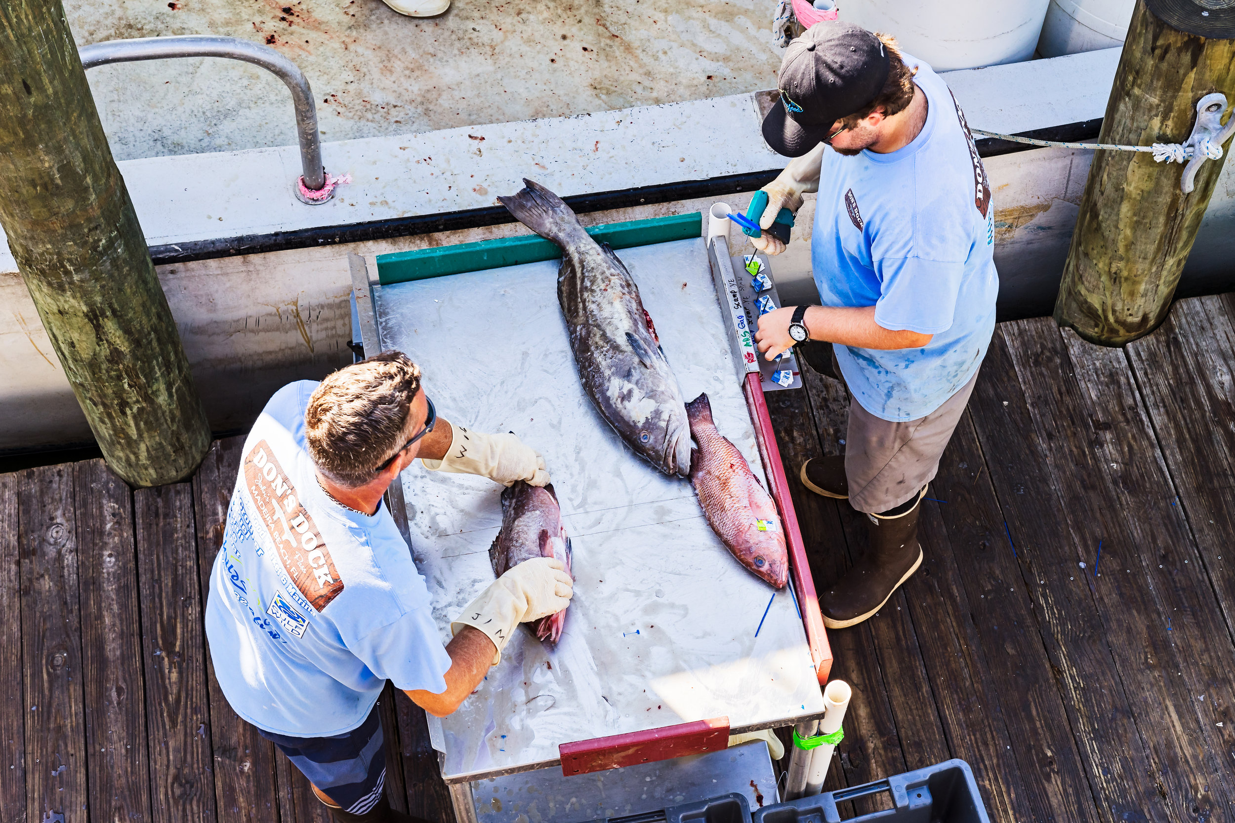 Tagging and sorting fish for shipment.