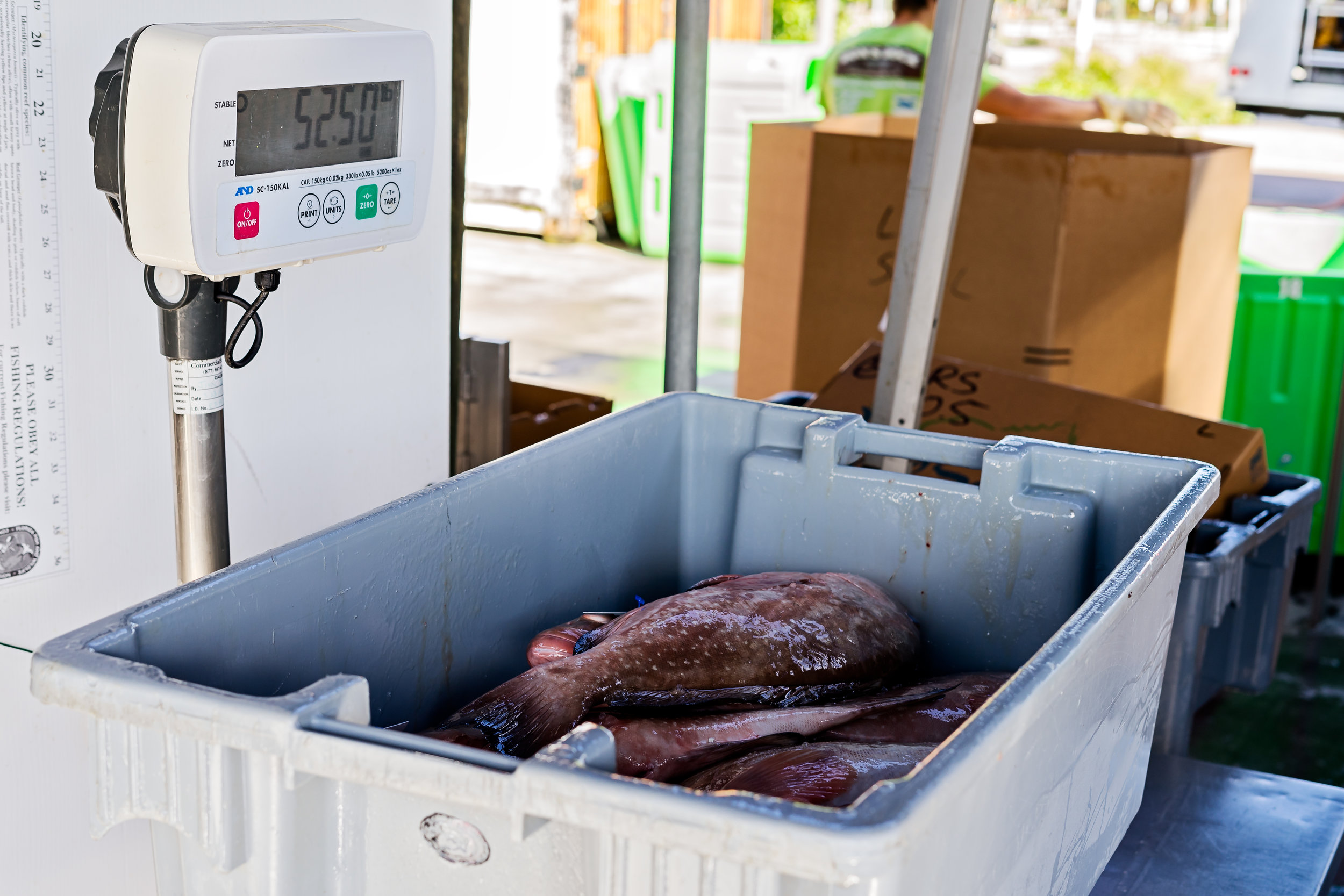 Fish being weighed for shipment.
