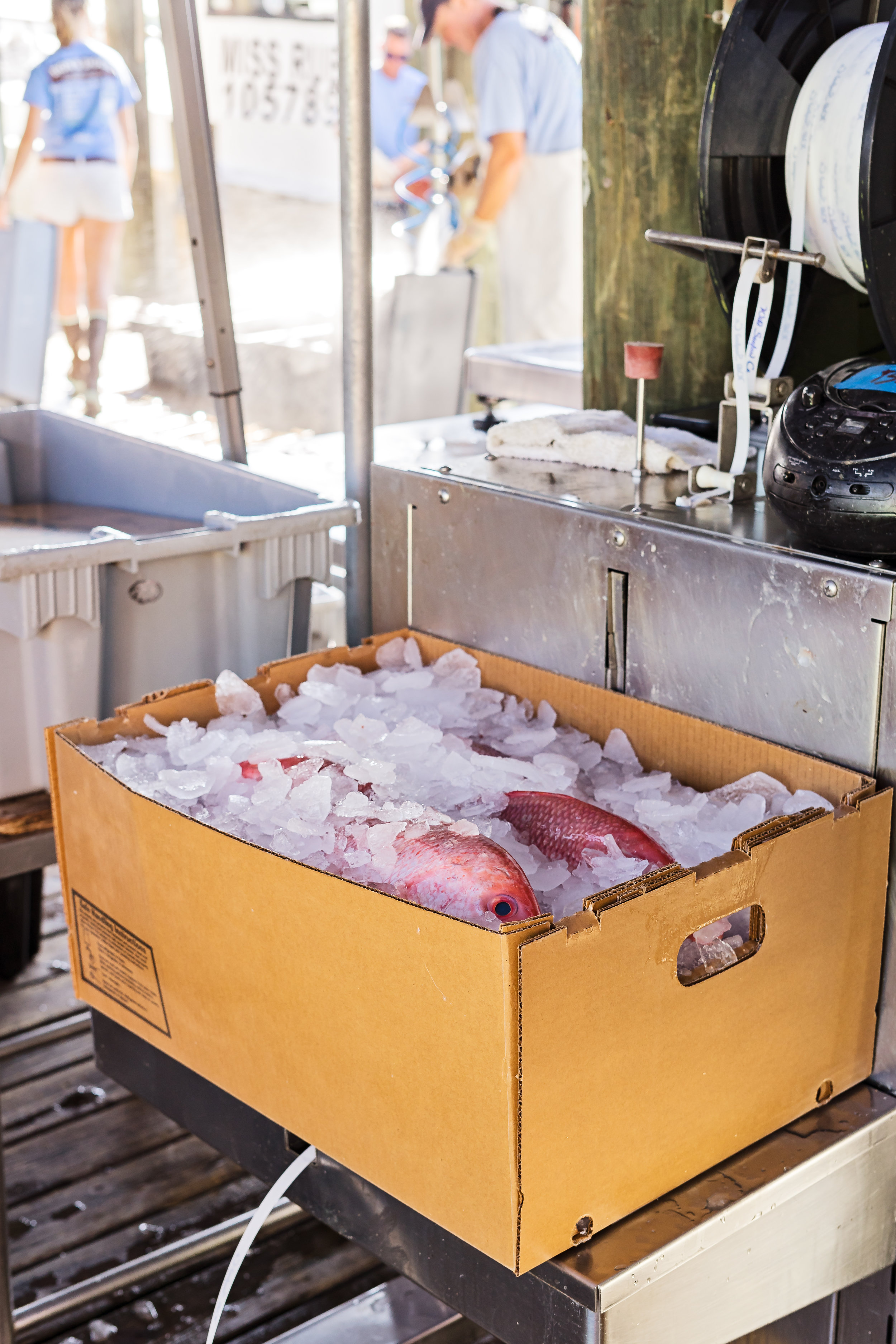 Fish being iced down for shipment.