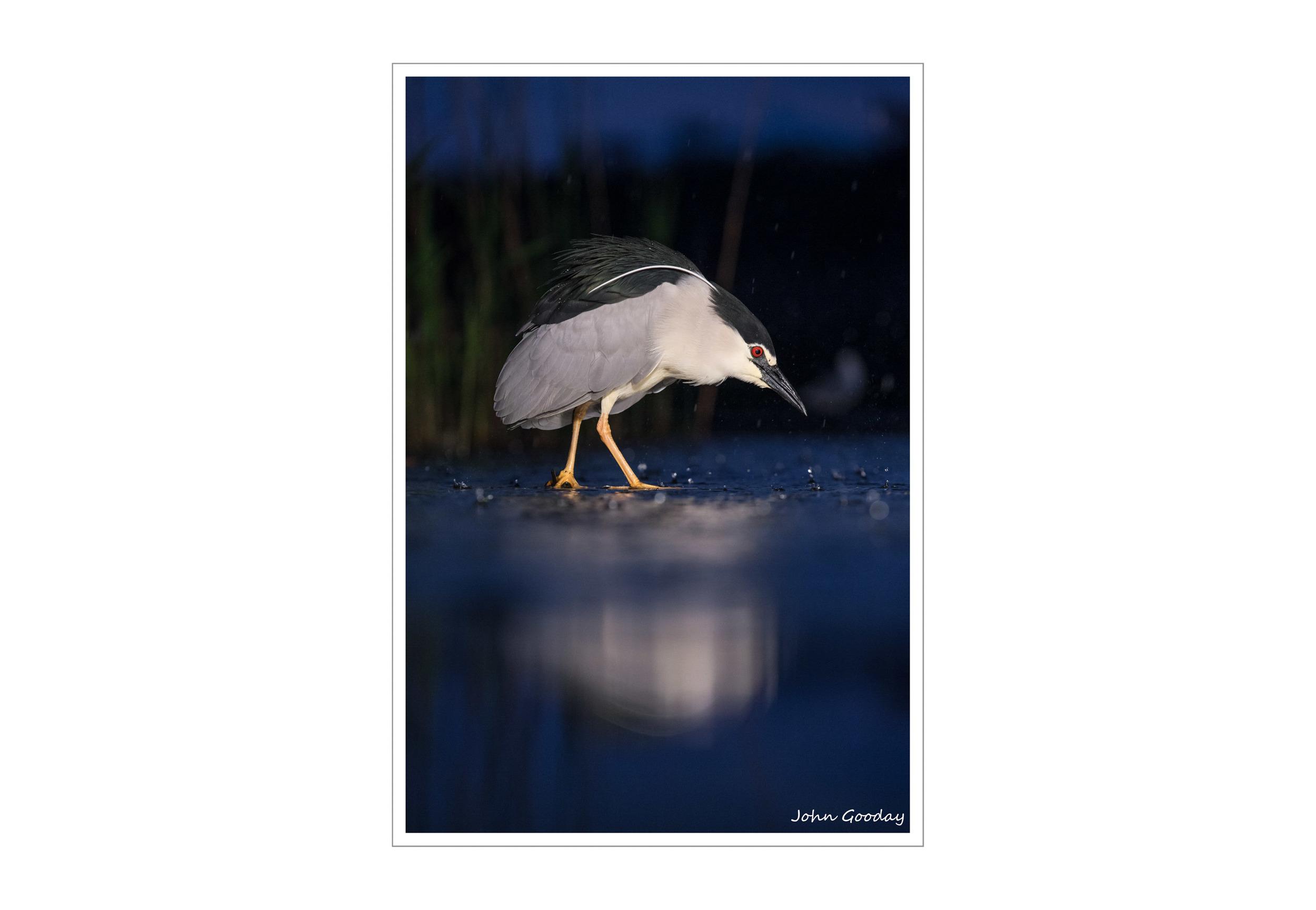 Black-crowned Night Heron in pre-dawn light.   Canon EOS 1DX, EF70-200mm f/2.8L IS II, 1/800 sec @ f/4, ISO 2000, 2 x 1000W halogen floodlights tripod, hide