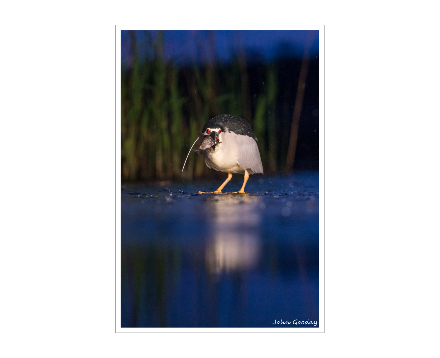 (Image: Night Heron holding its prize at nightfall. Canon EOS 1DX, EF70-200mm f/2.8L IS II, 1/1000 sec @ f/4, ISO 2000, tripod, hide)