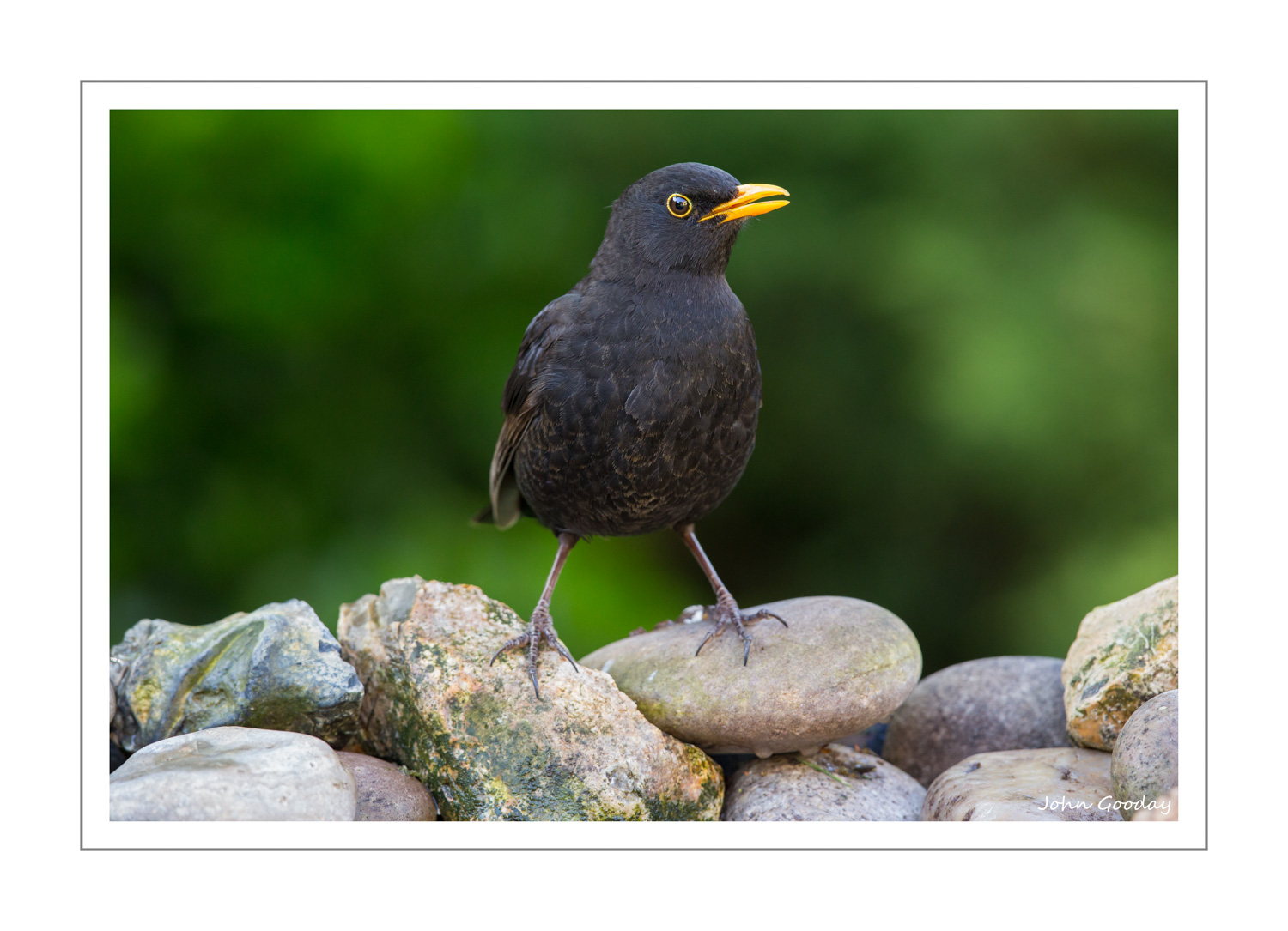 (Image: Male Blackbird standing on pebbles at the far end of the tray.Canon EOS 5D Mark III, EF500mm f/4L IS II, 1/160 sec @ f/7.1, ISO 1600, tripod, hide)